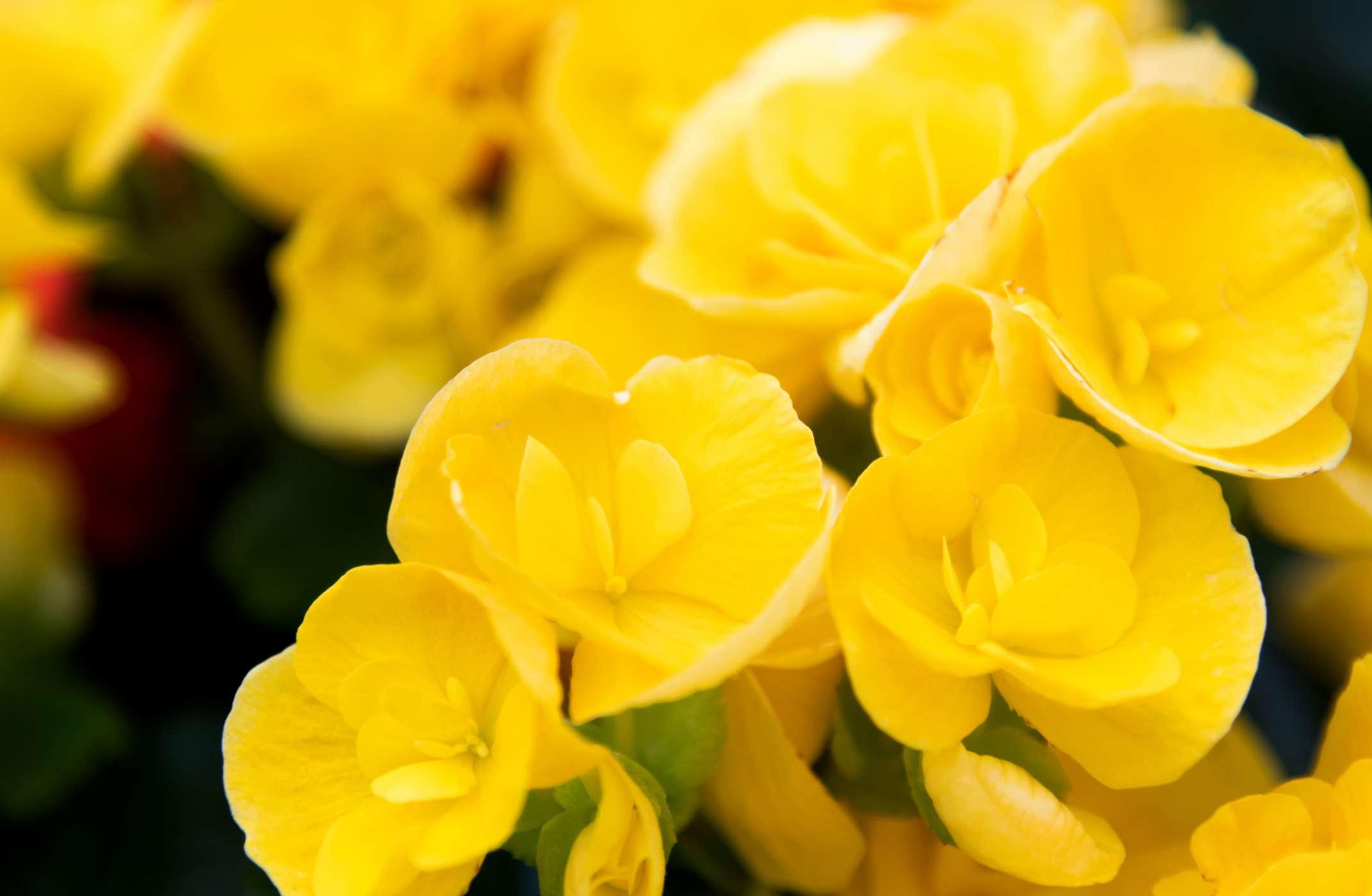 vibrant yellow Rieger begonias