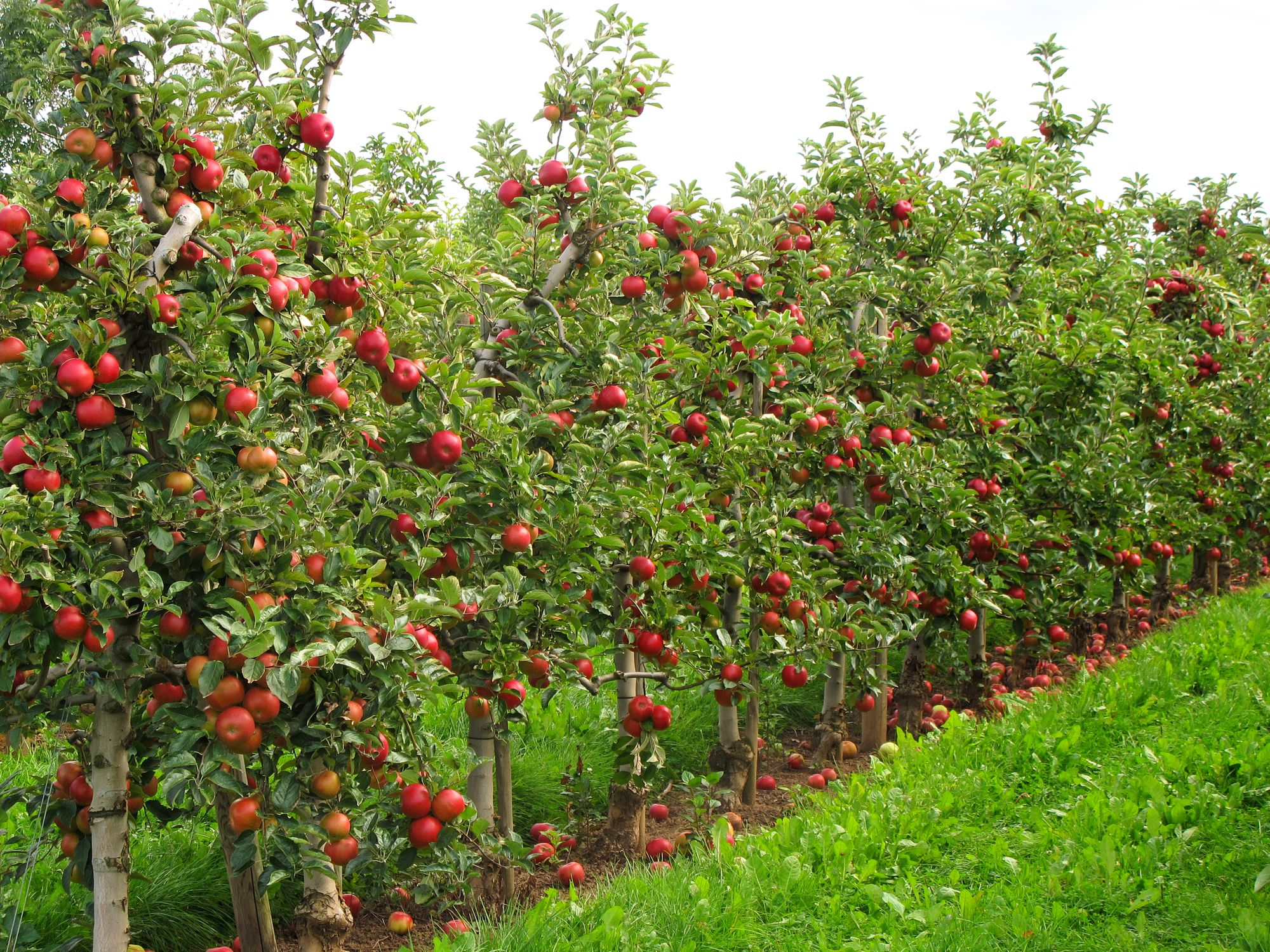 Dwarf apple trees in a row.
