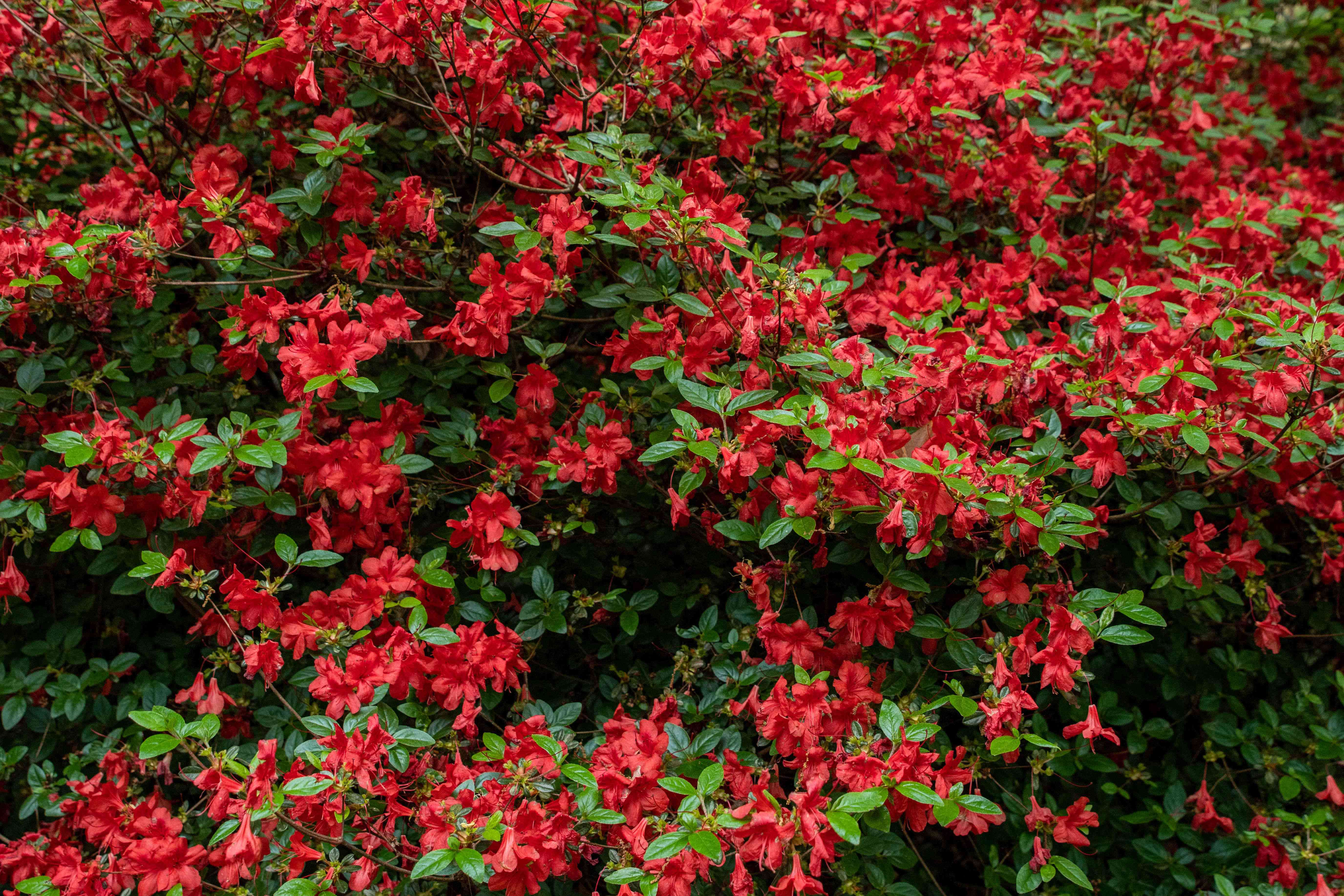 Red azalea bush with large branches full of red flowers and green leaves