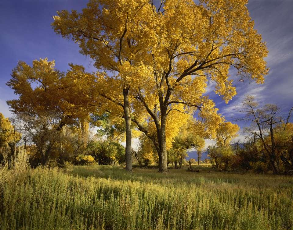 Eastern Cottonwood in autumn