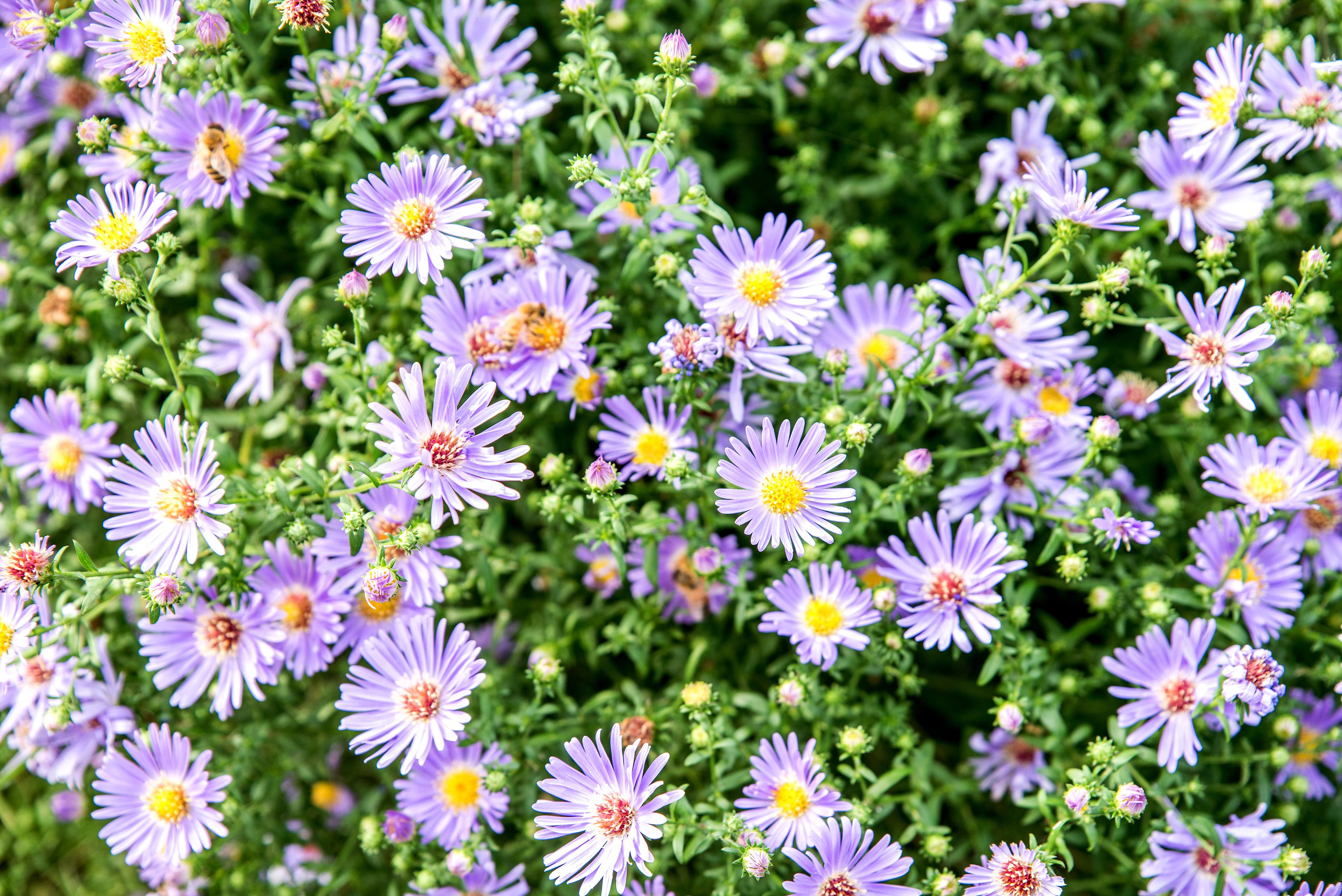 Asters Plant Care Growing Guide