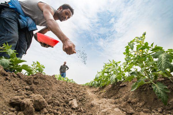 Gardener spreading fertilizer