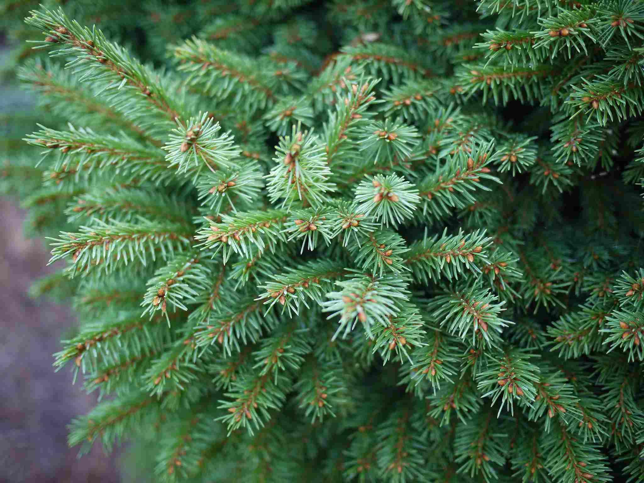 Dwarf Spruce
