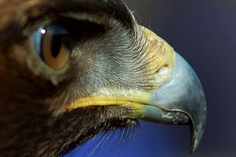 Cere Definition - Bird Bill Parts and Anatomy