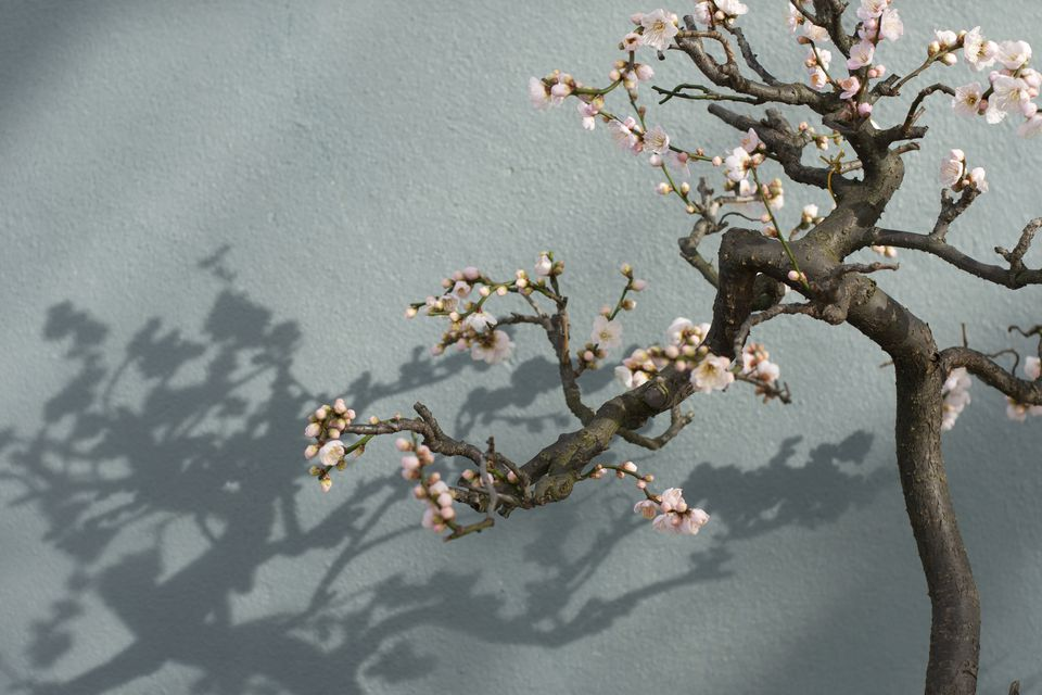 Cherry tree bonsai in bloom against a light blue wall.