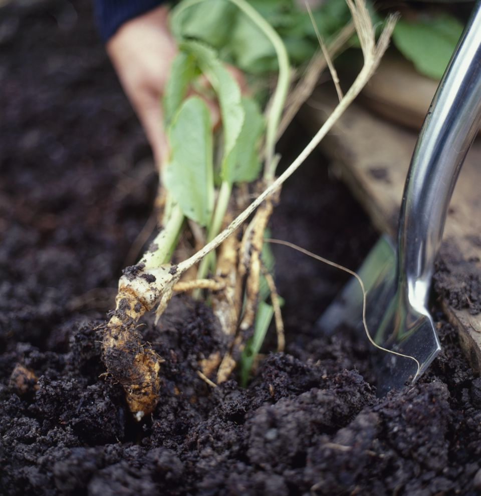 Removing organically grown horseradish from wet soil, using trowel, close-up