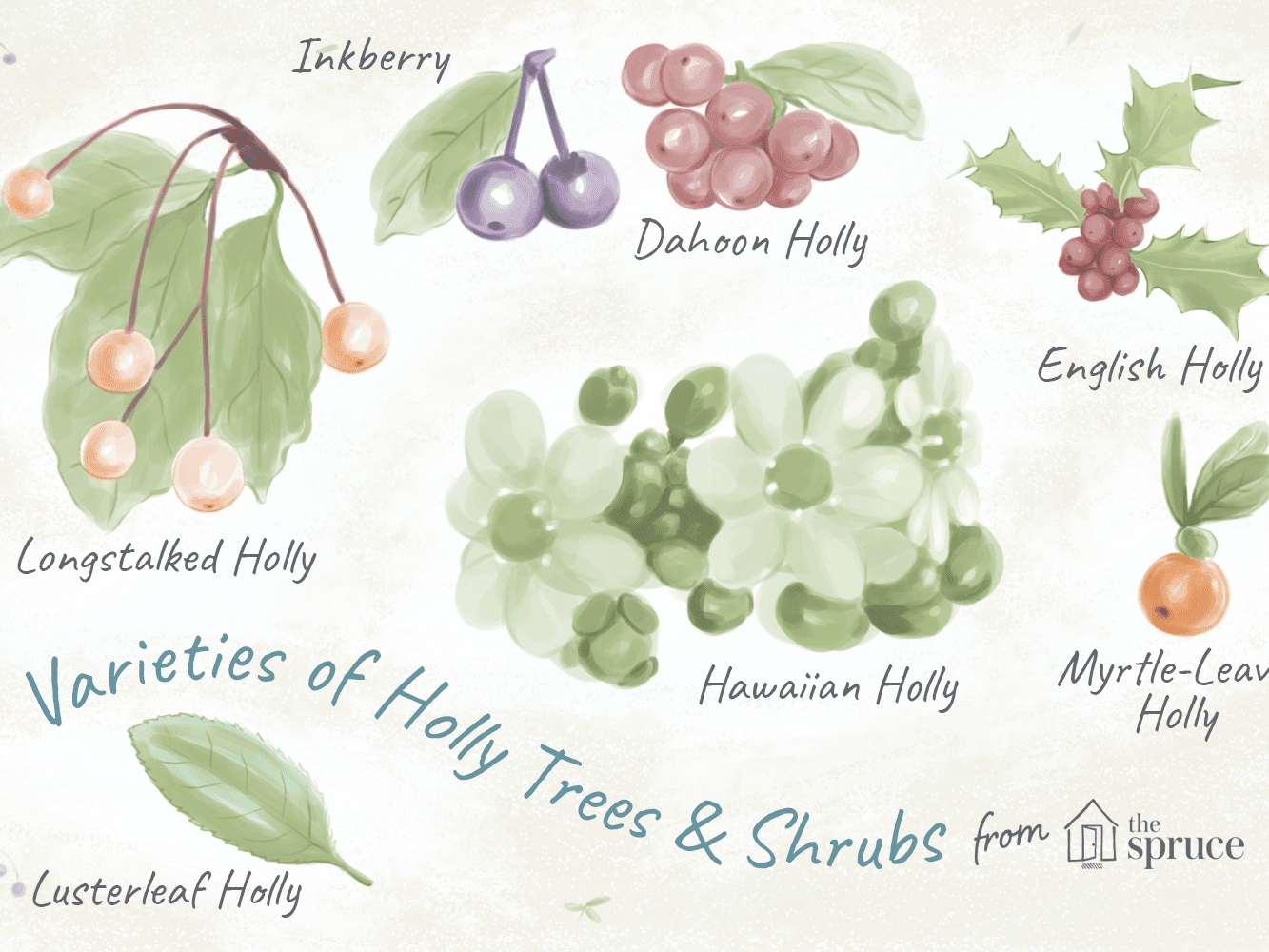 18 Species Of Holly Trees And Shrubs