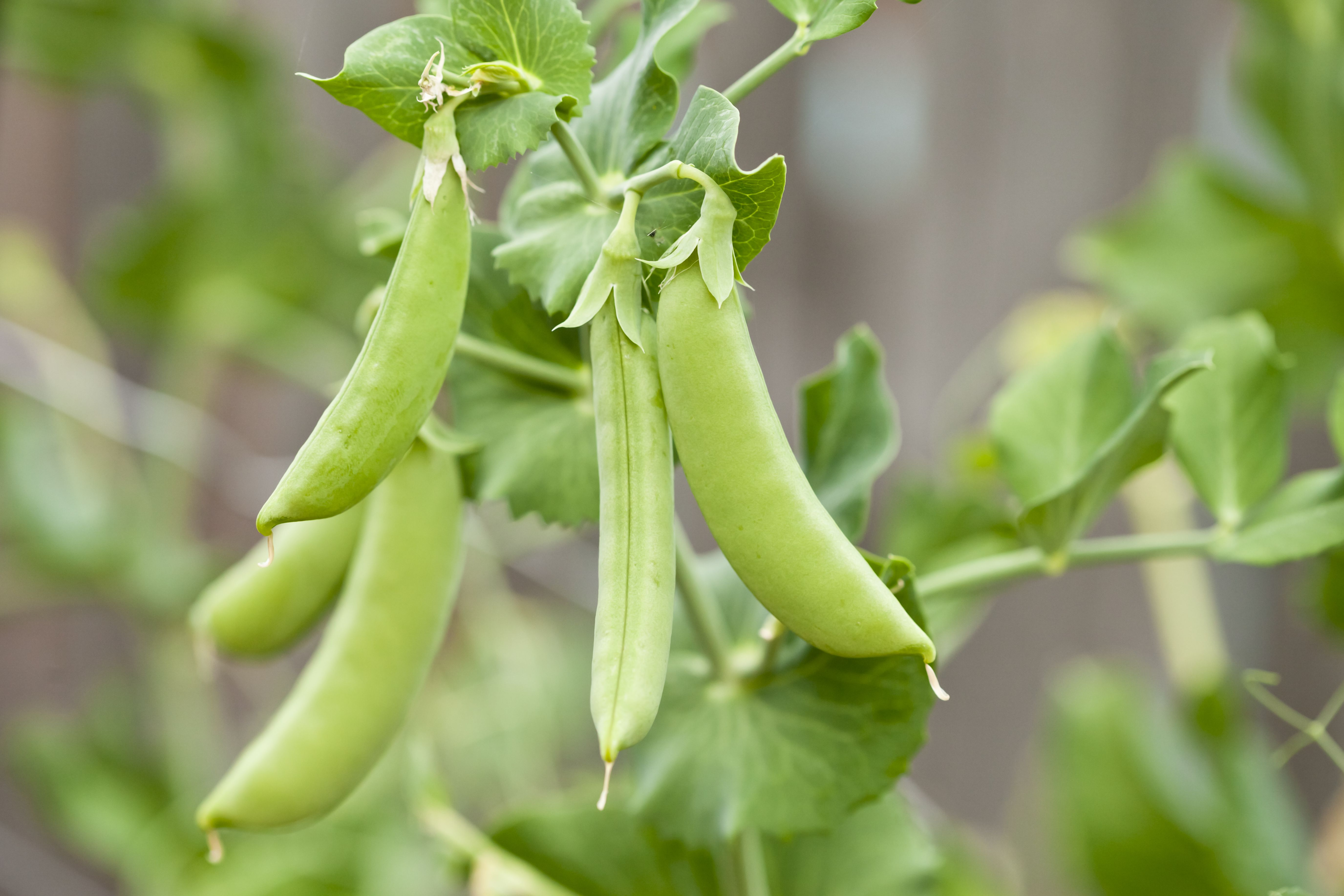different types of peas for your garden