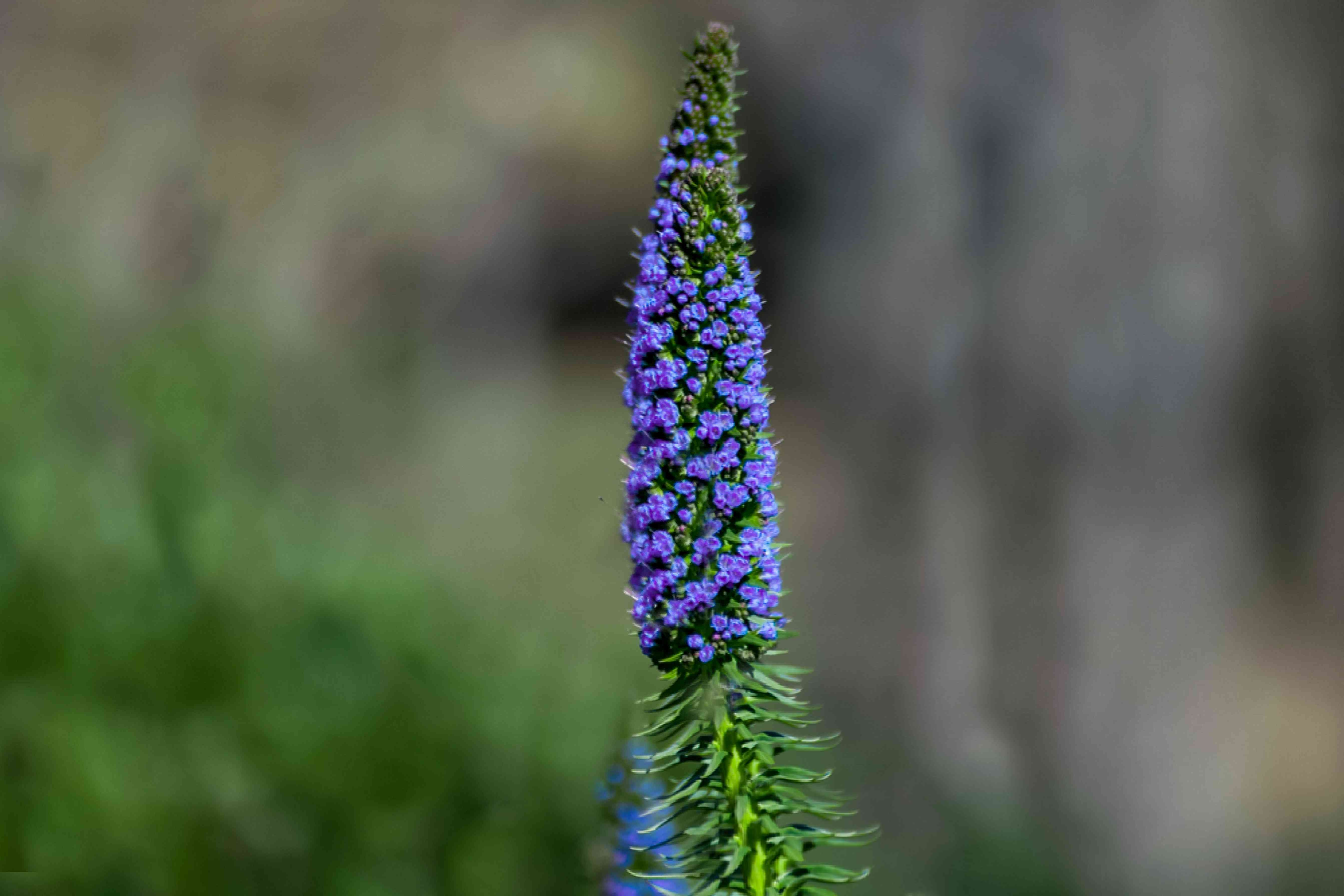 Pride of Madeira with purple cone-shaped flower panicle closeup