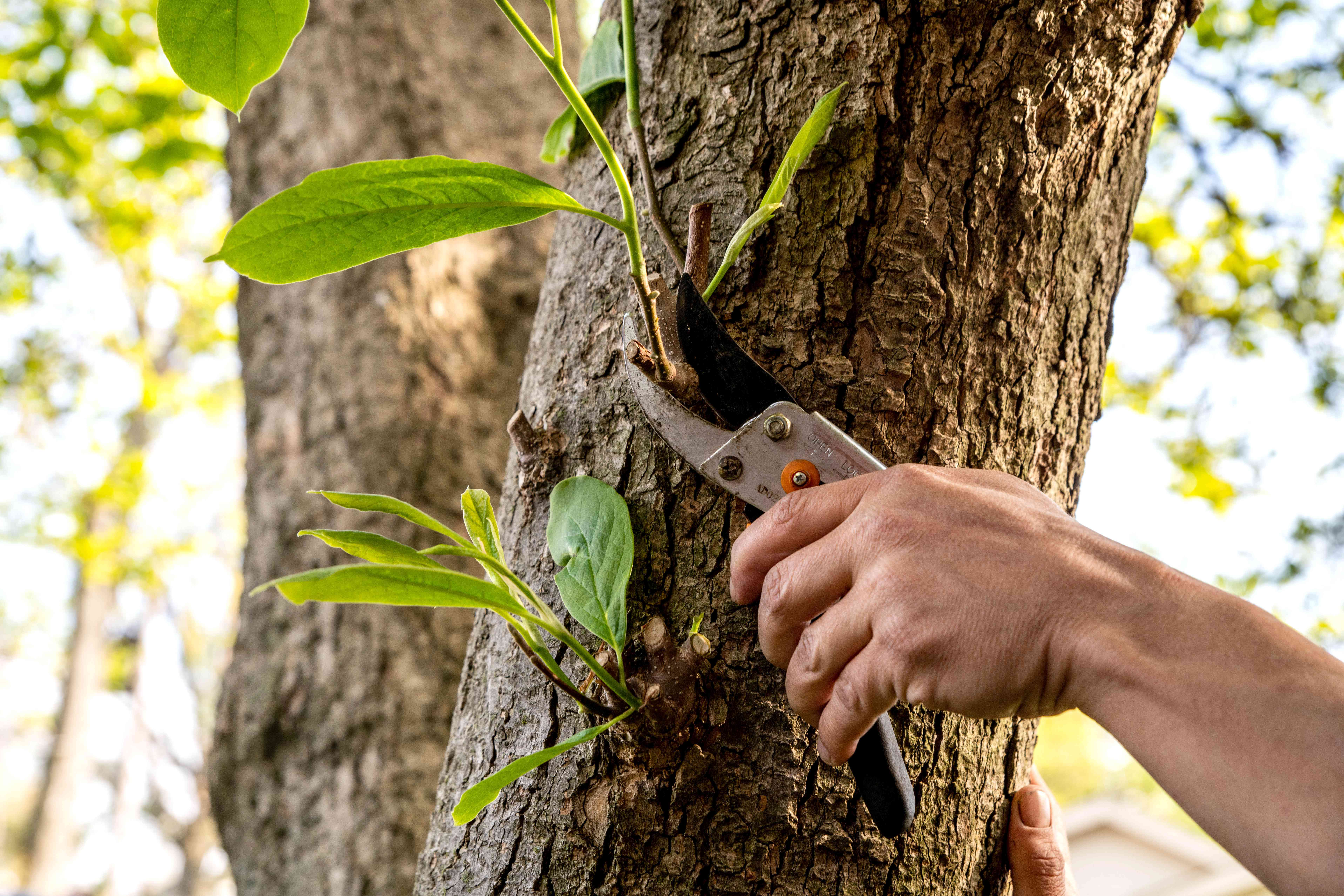 Magnolia tree trunk with small branches being pruned by hand-held shears