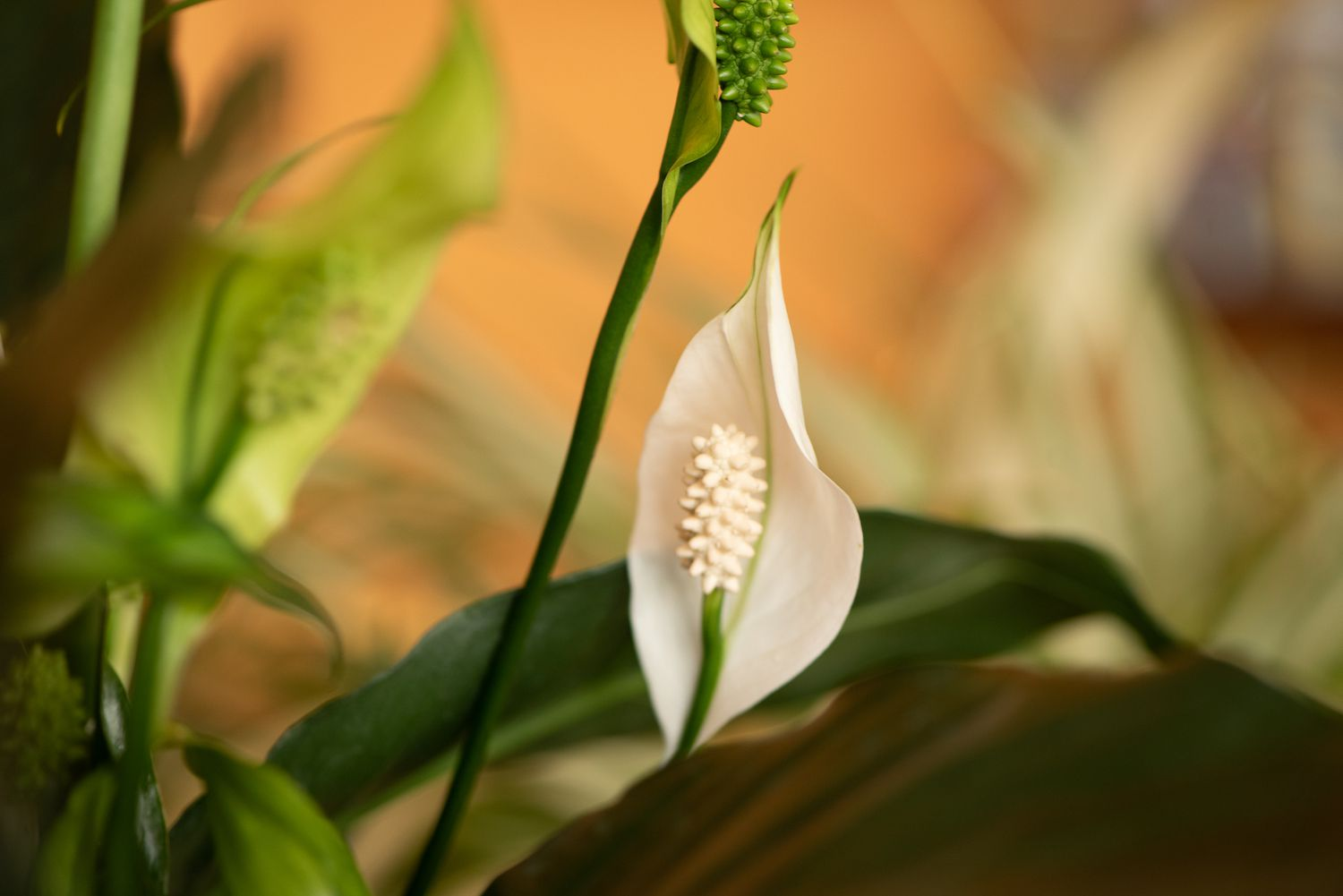 How to Grow The Majestic Peace Lily Indoors or Out