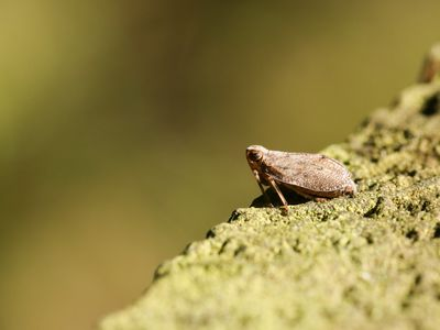 A Leafhopper (Cicadellidae) perched on a wooden fence