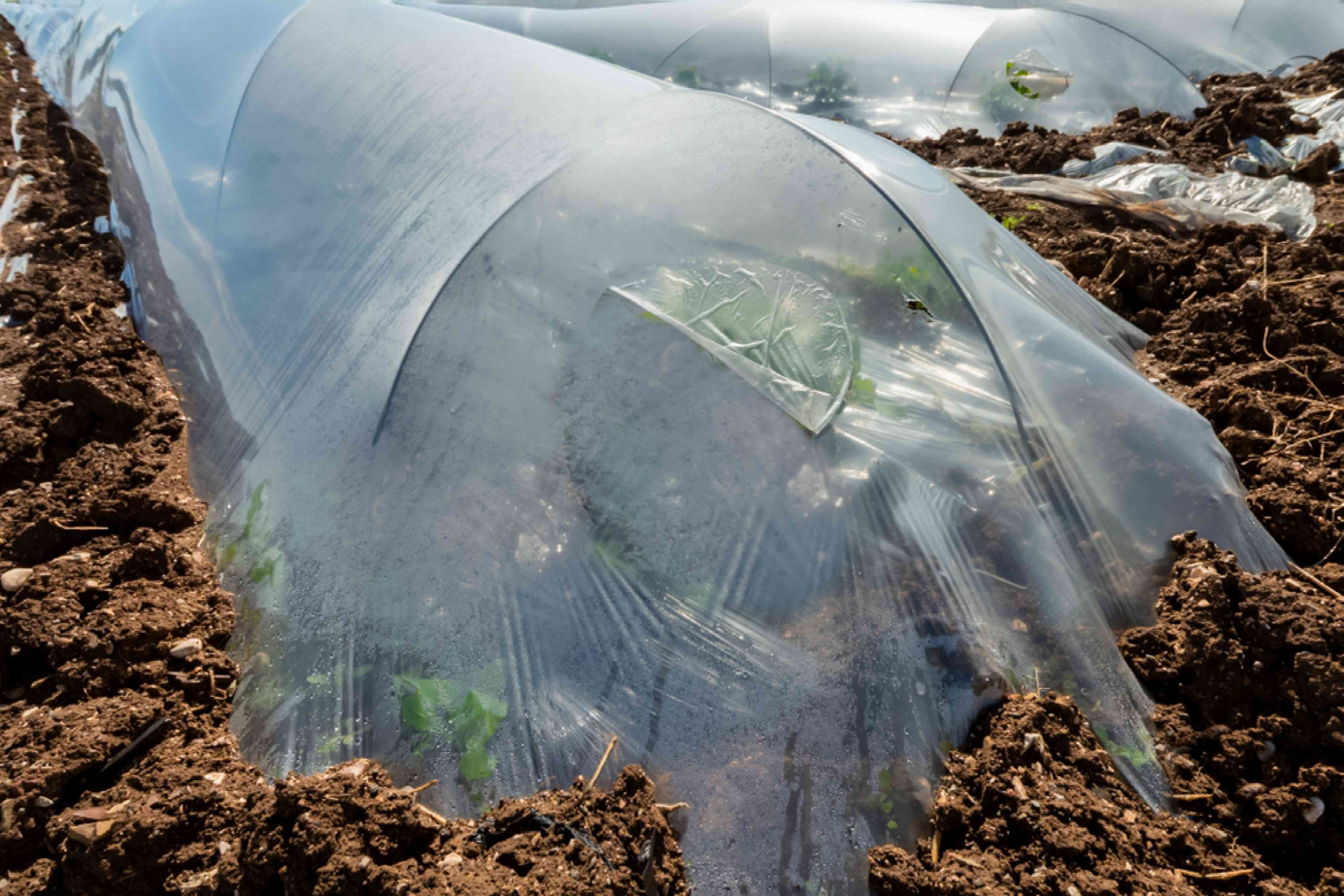 Frost protection covering tomato plants during cold weather