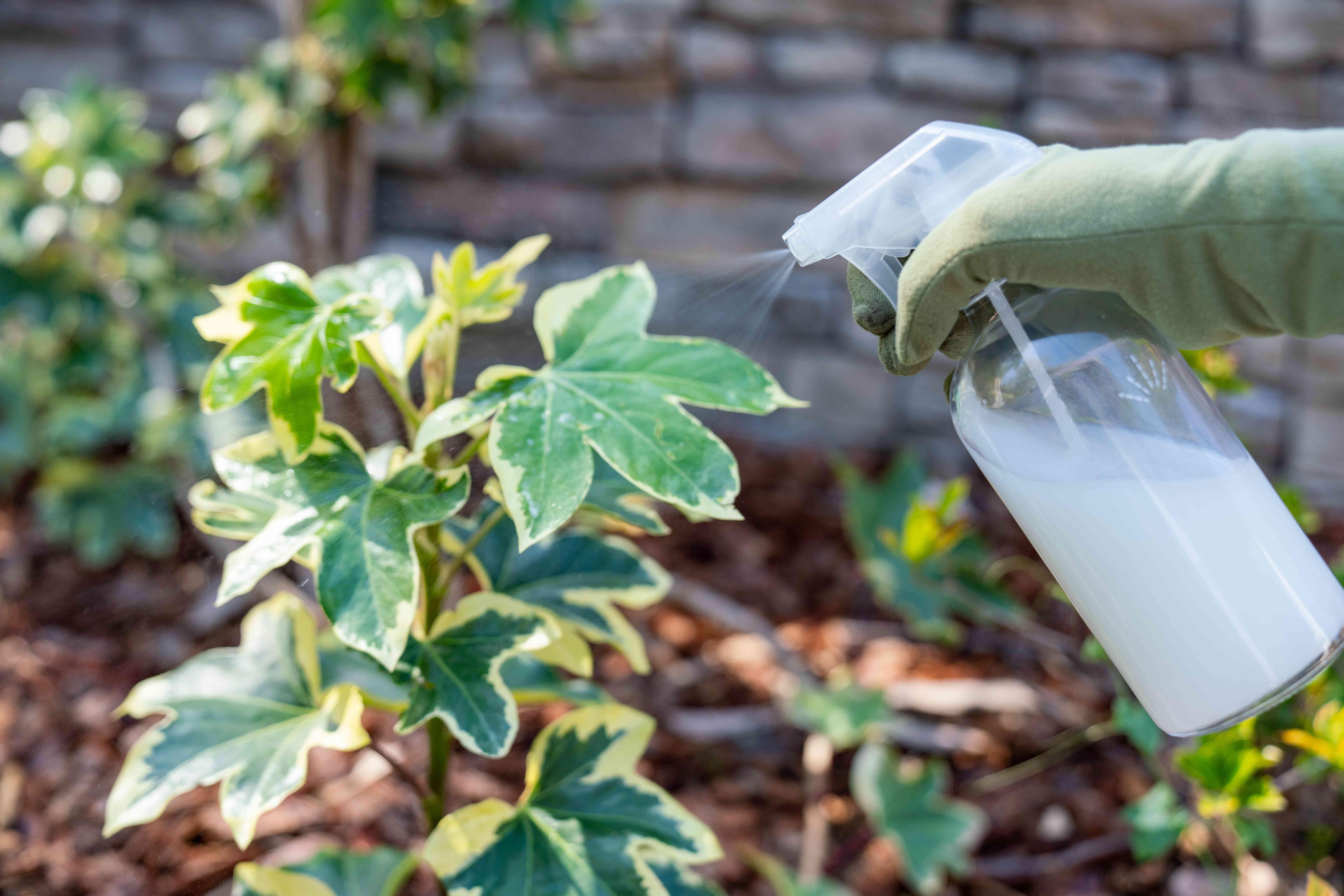 Milk being sprayed on plant