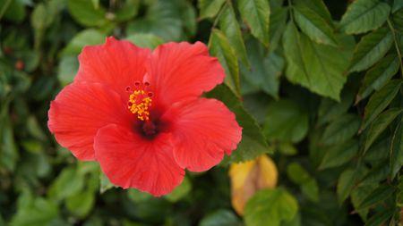 Hibiscus Flower. angrysibarit / Pixabay. Red flowers ...