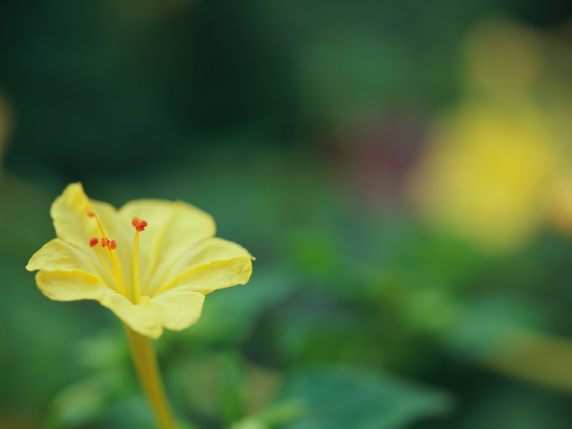 Marvel of peru flower
