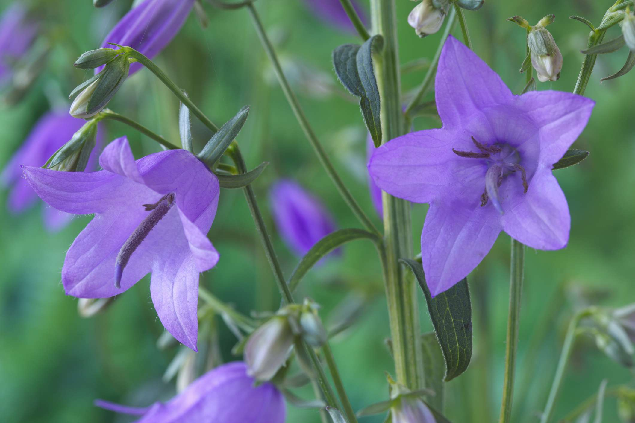 Ladybell flowers