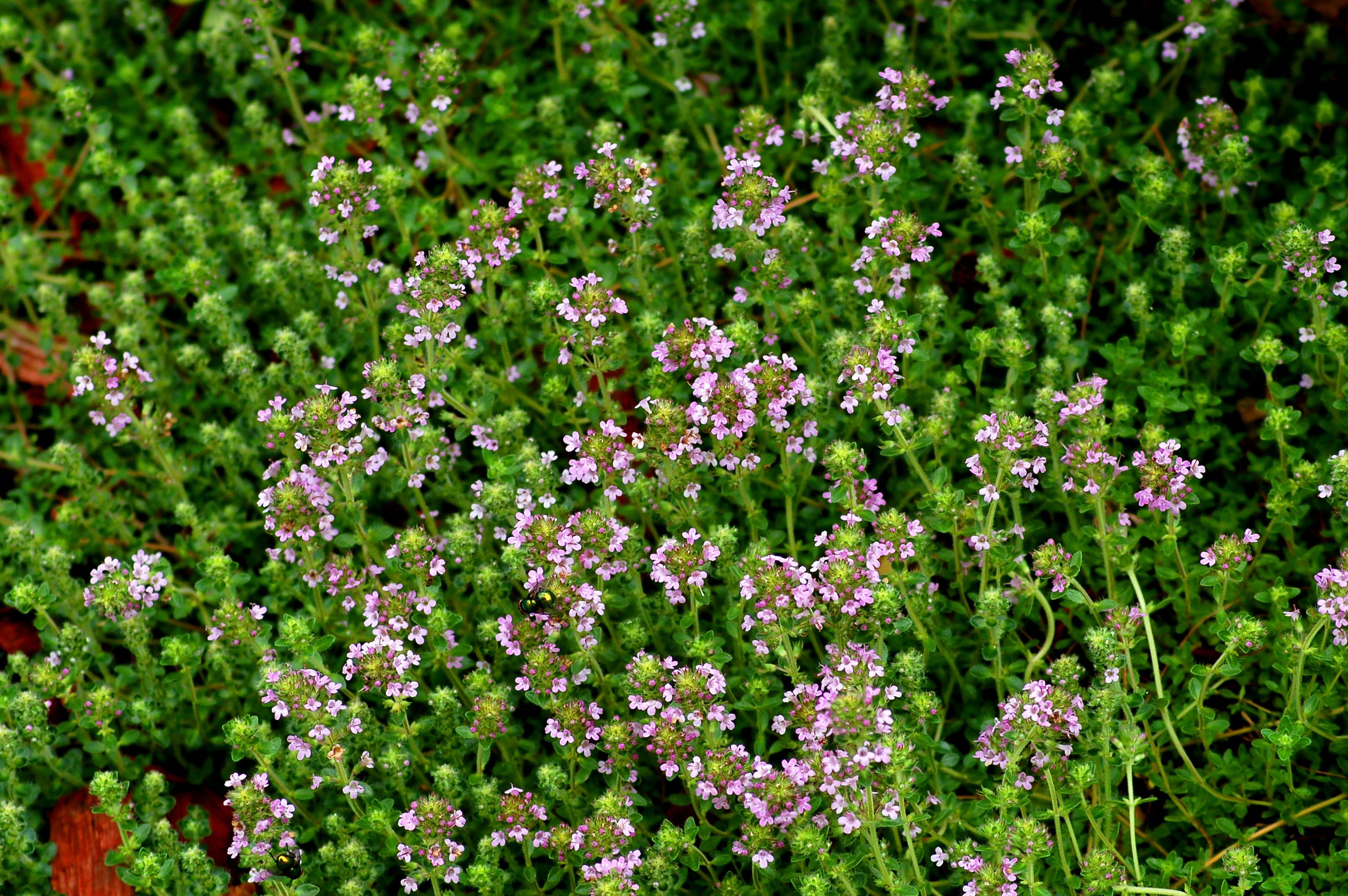 Red creeping thyme in bloom.
