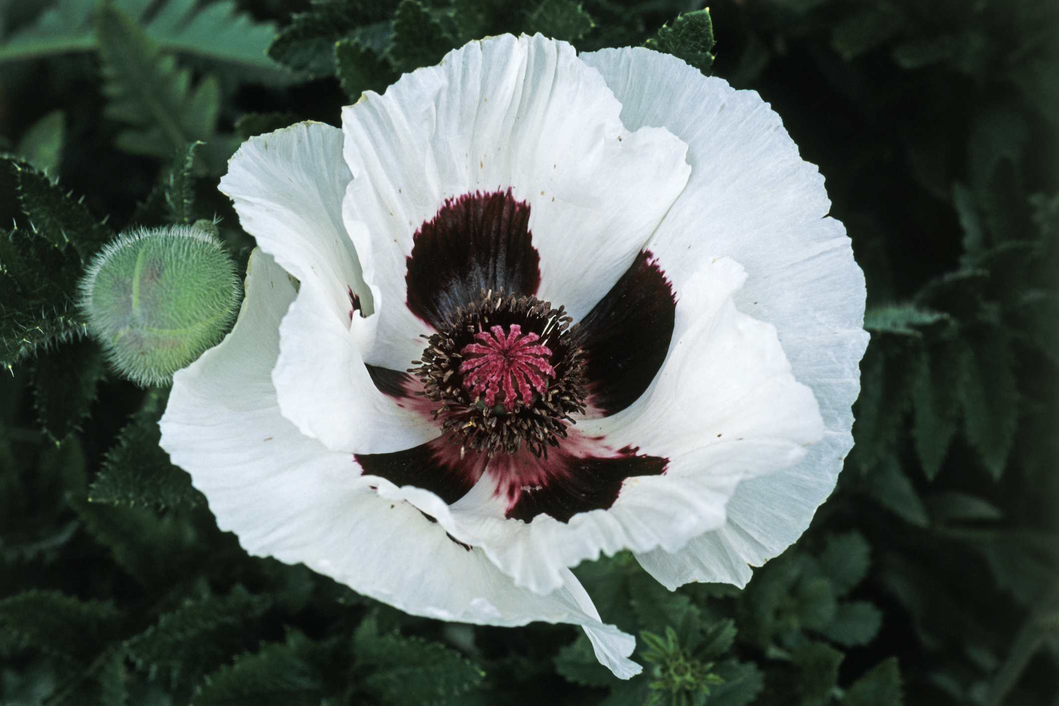 14 Beautiful Garden Poppies