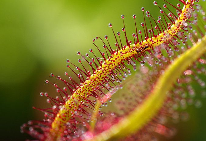 Extreme close up of sundew plant with red tipped filaments visible.