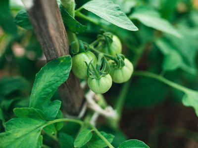 staked tomato plant