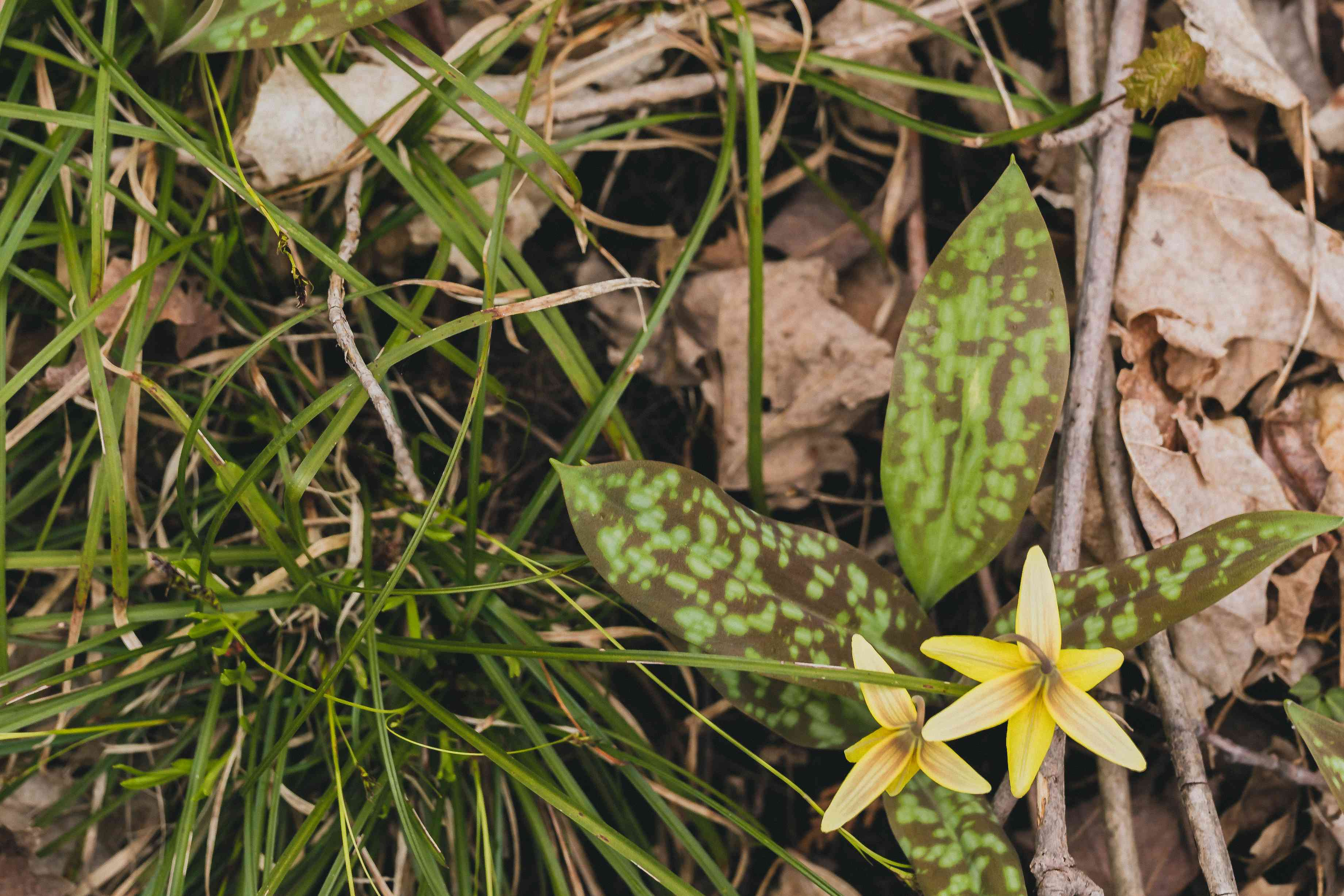 Trout lily plant with black spotted leaves with small yellow flowers in between leaves and grass blades