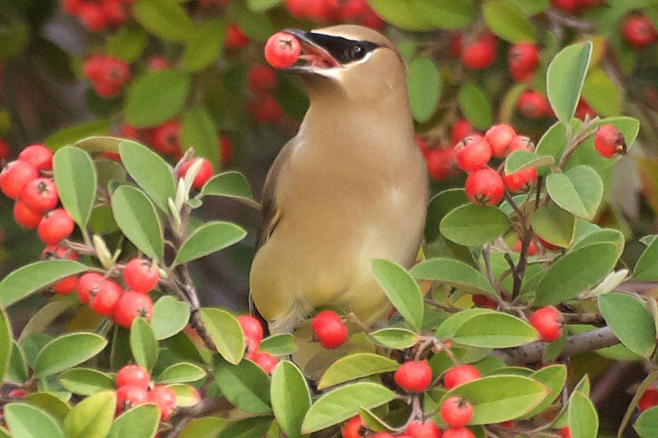 Cedar Waxwing in Fruit Tree