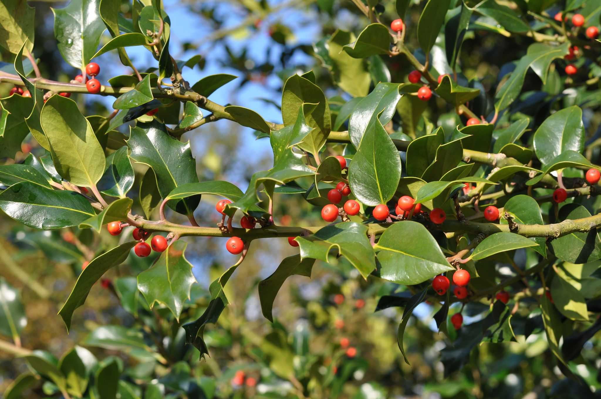 18 species of holly trees and shrubs mightylinksfo