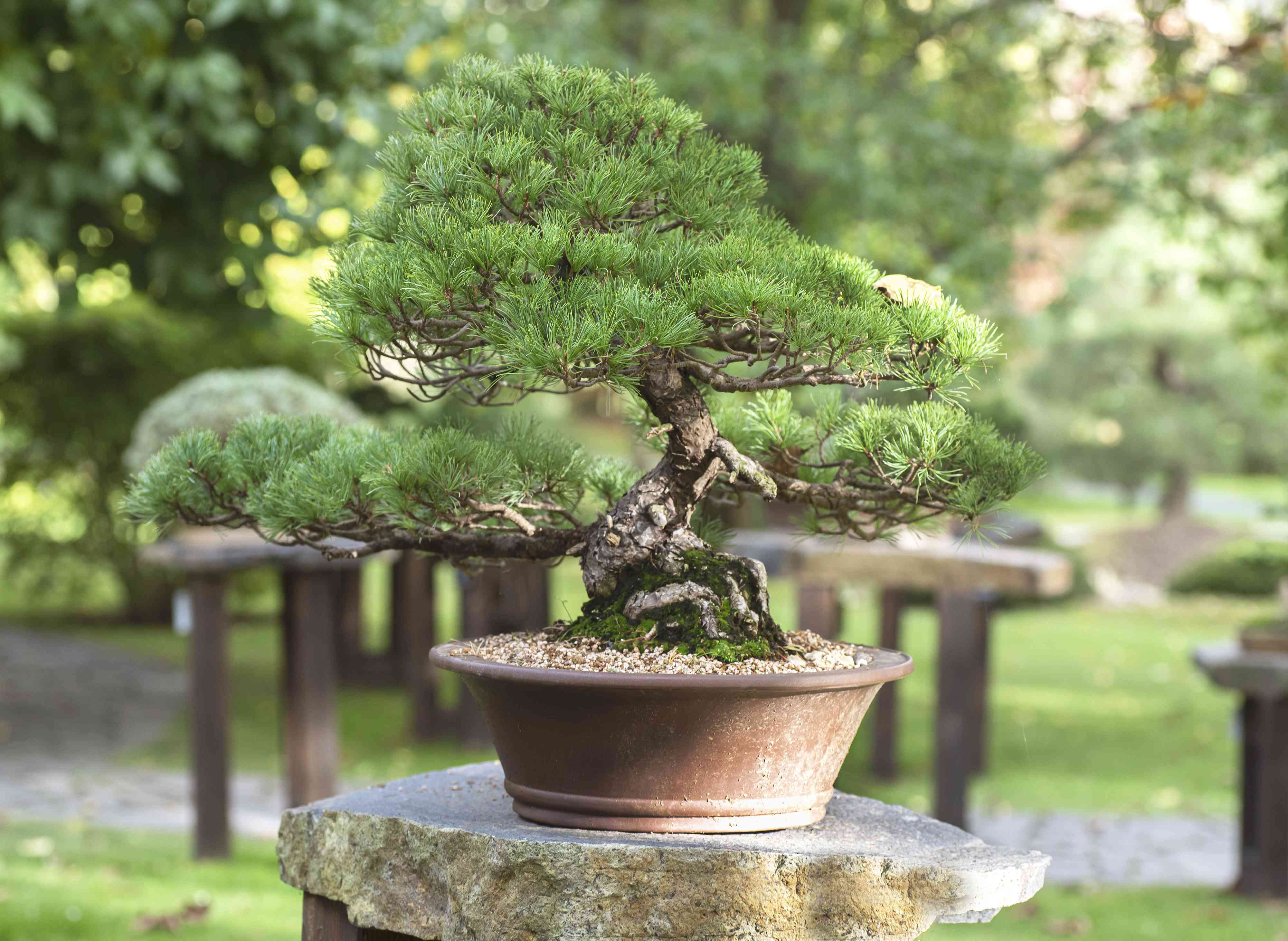 Pine bonsai tree in small brown clay pot on stone pedestal