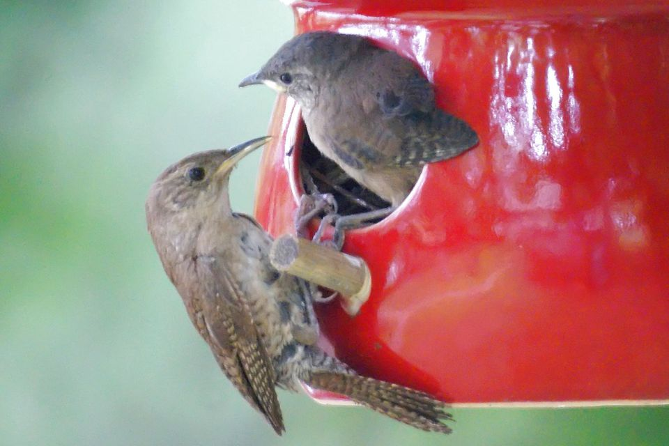 Wrens Nesting in a Birdhouse