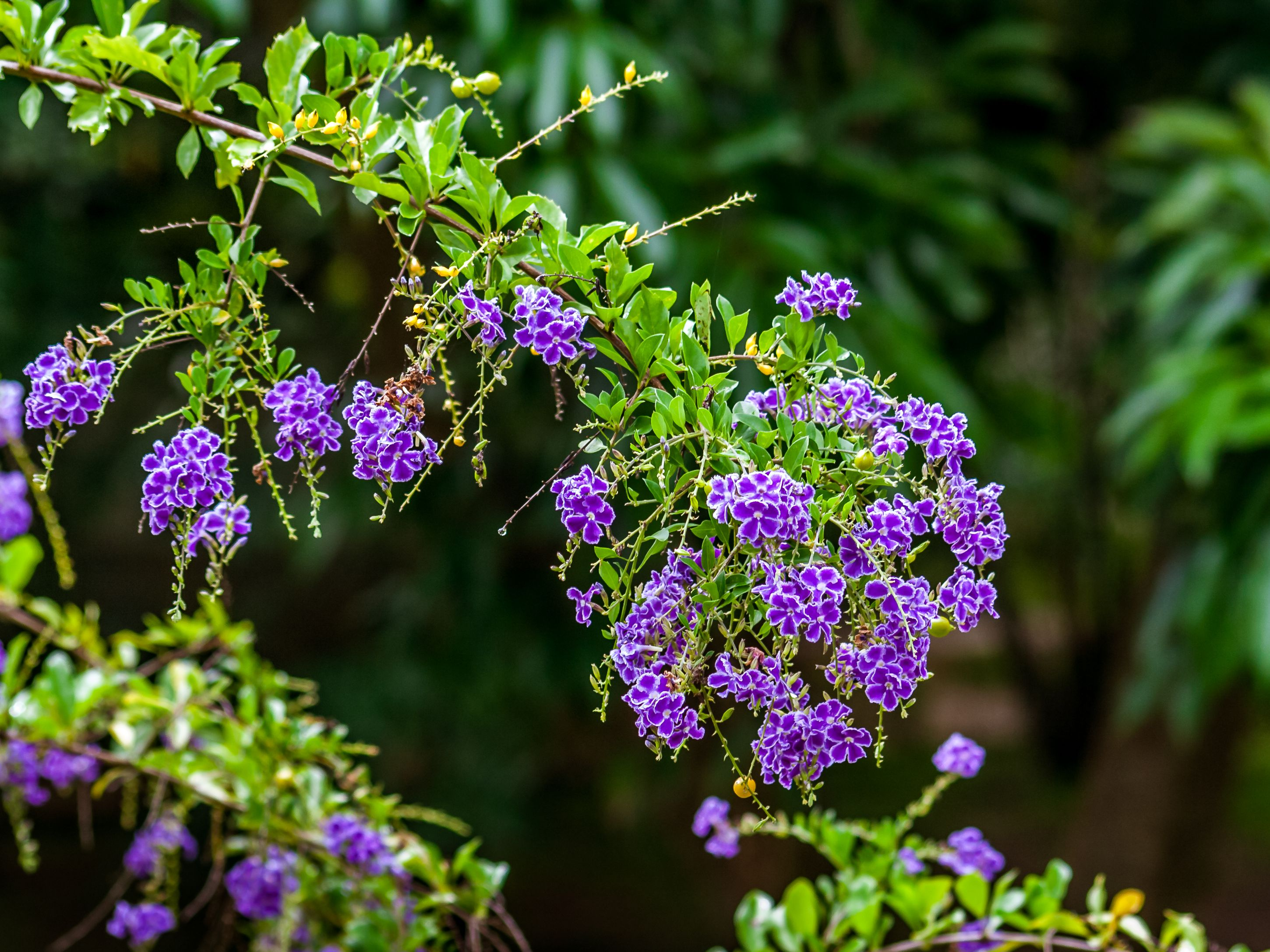 Duranta Plant Care And Growing Guide