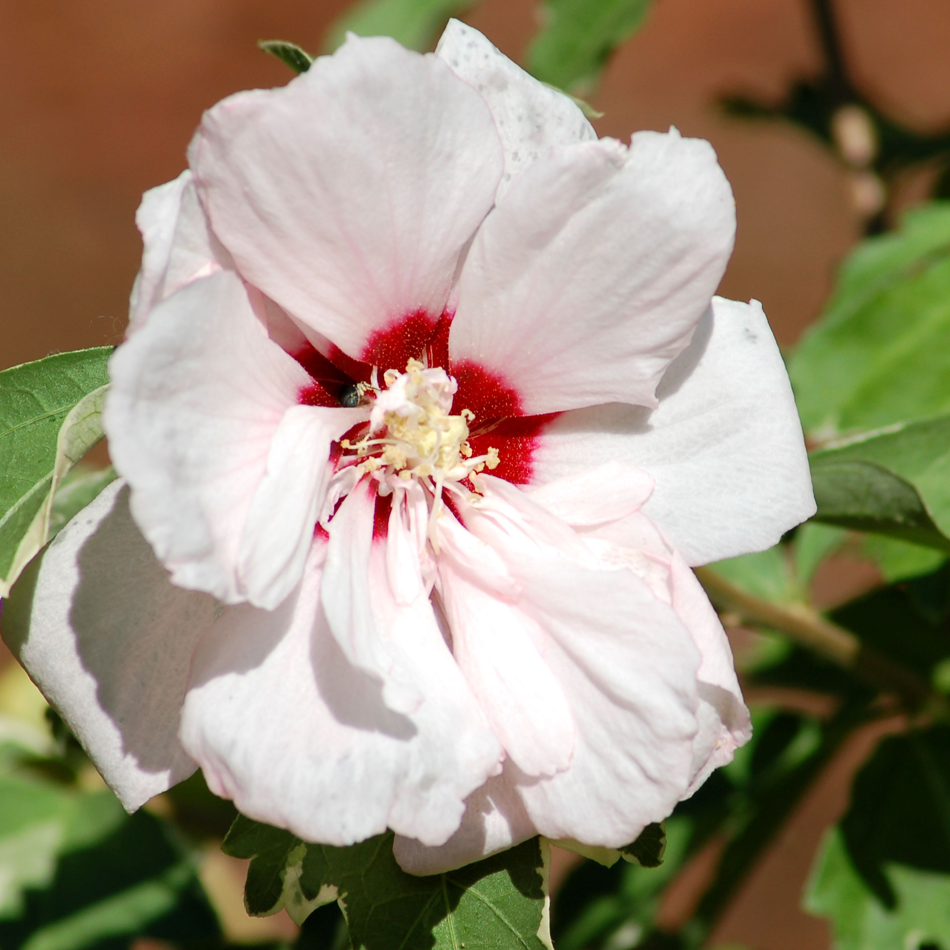 Double Rose Of Sharon Sugar Tip