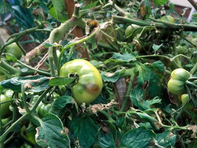 Tomato Disease: Early Blight, Late Blight, or Septoria?