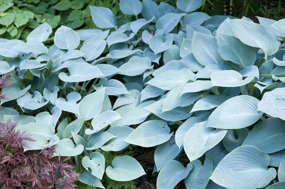 Blue leaves of Hosta 'Halcyon.'