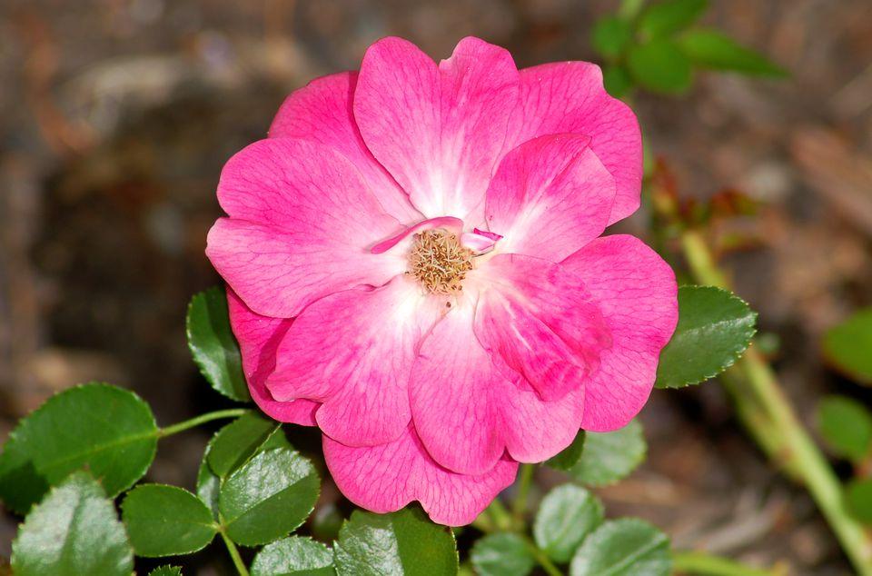 Flower of Pink Supreme carpet rose.