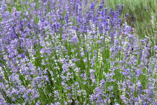 Munstead lavender plant with purple and white blooms on thin stems