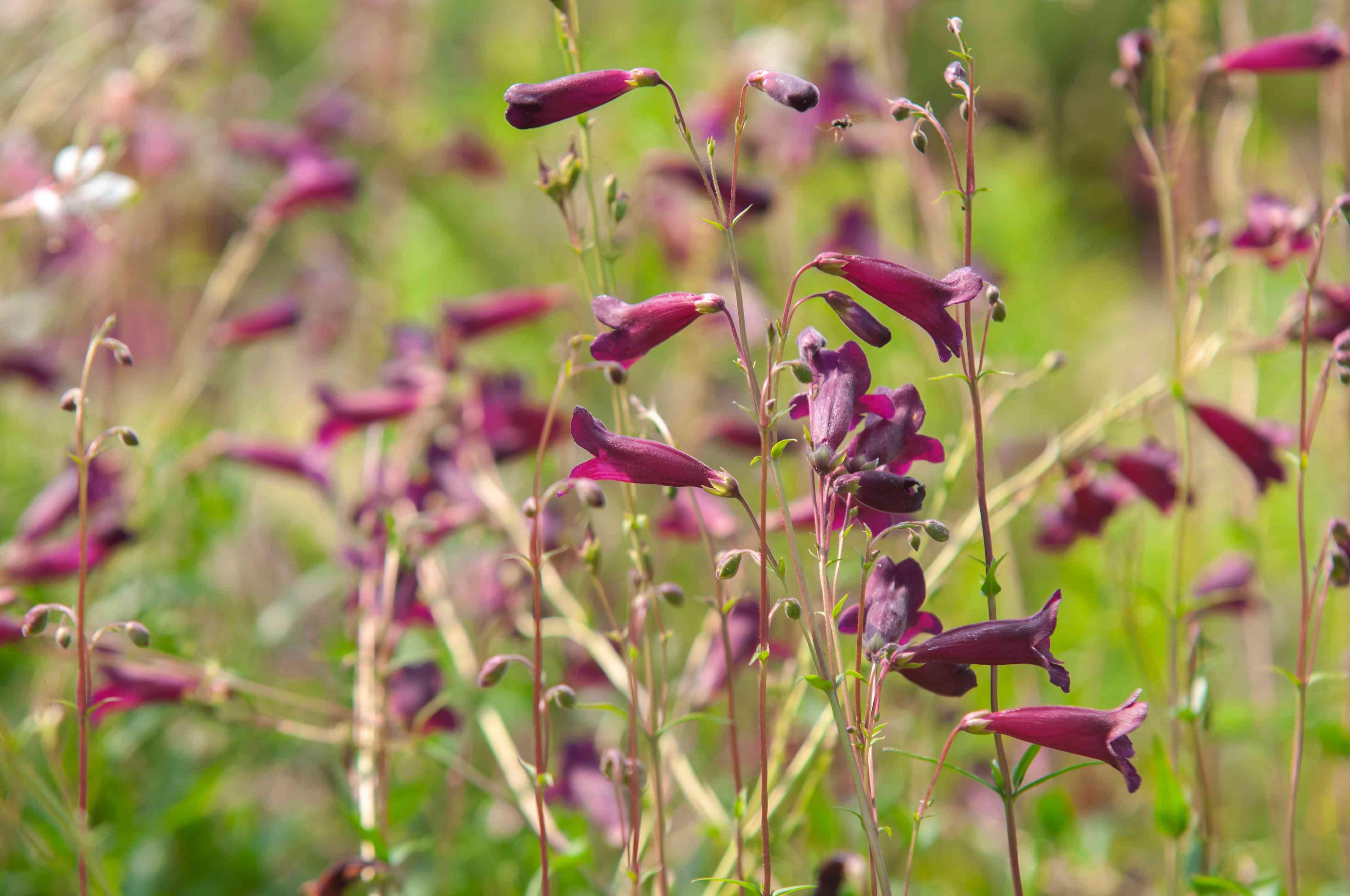 Dark pink beardtongue flowers
