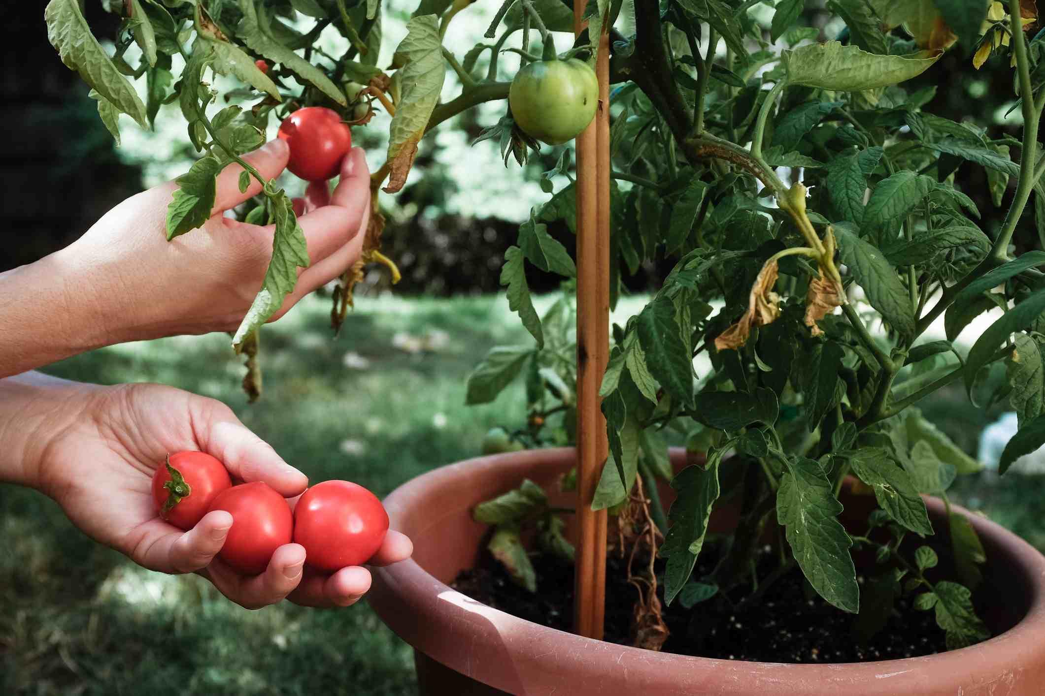 Tomato plant in container garden