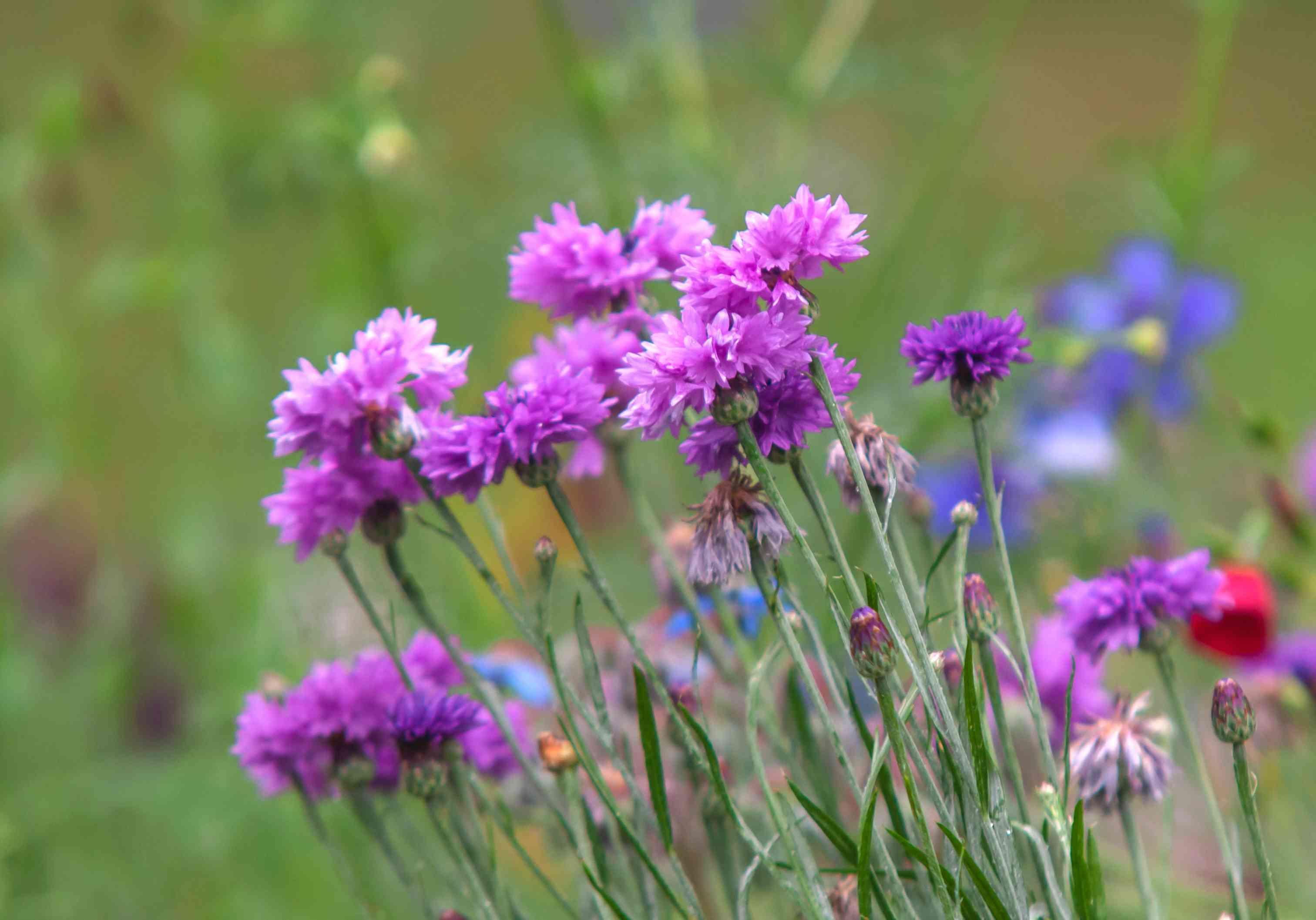 Cornflower stems with purple-pink flowers in garden