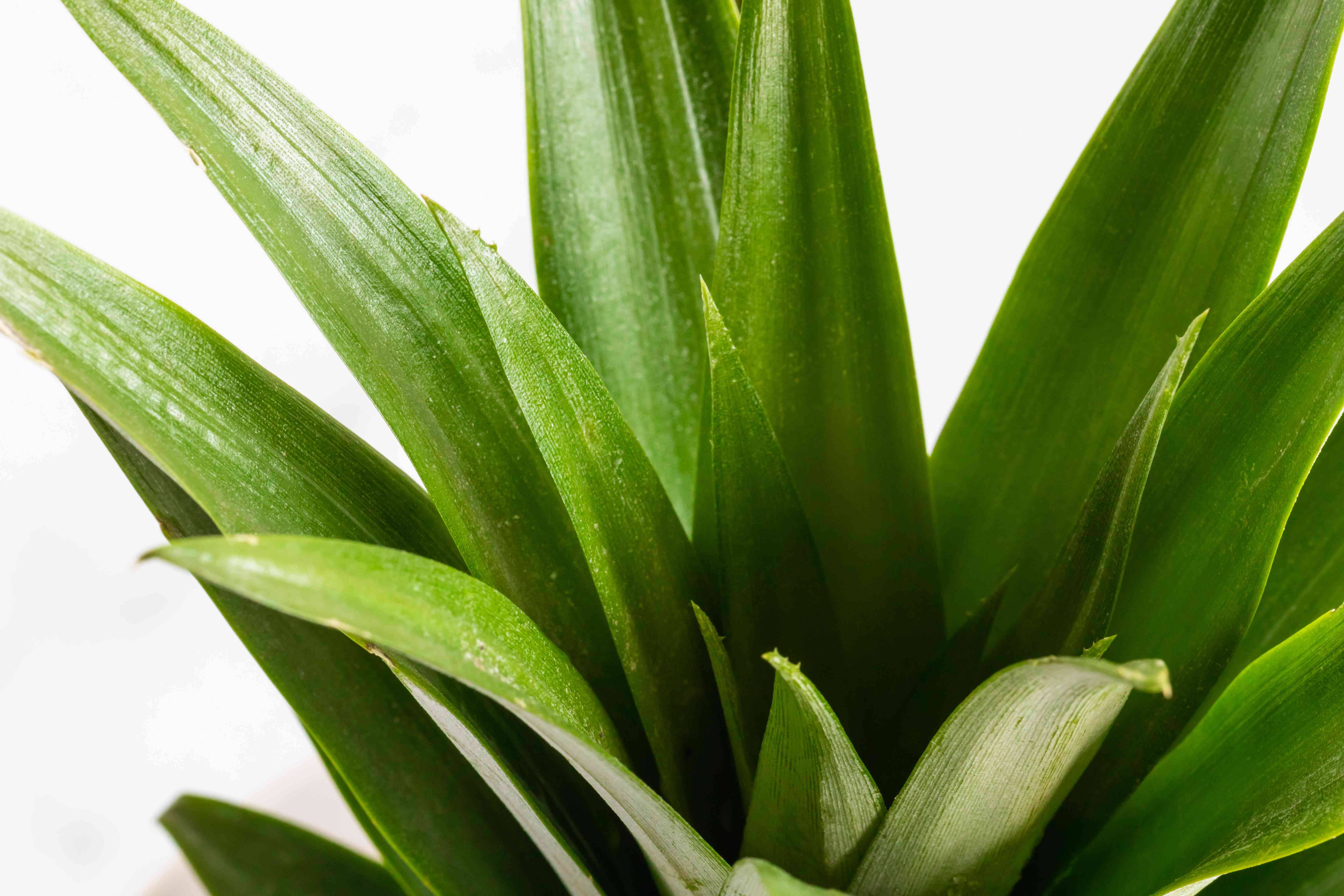 closeup of a pineapple plant