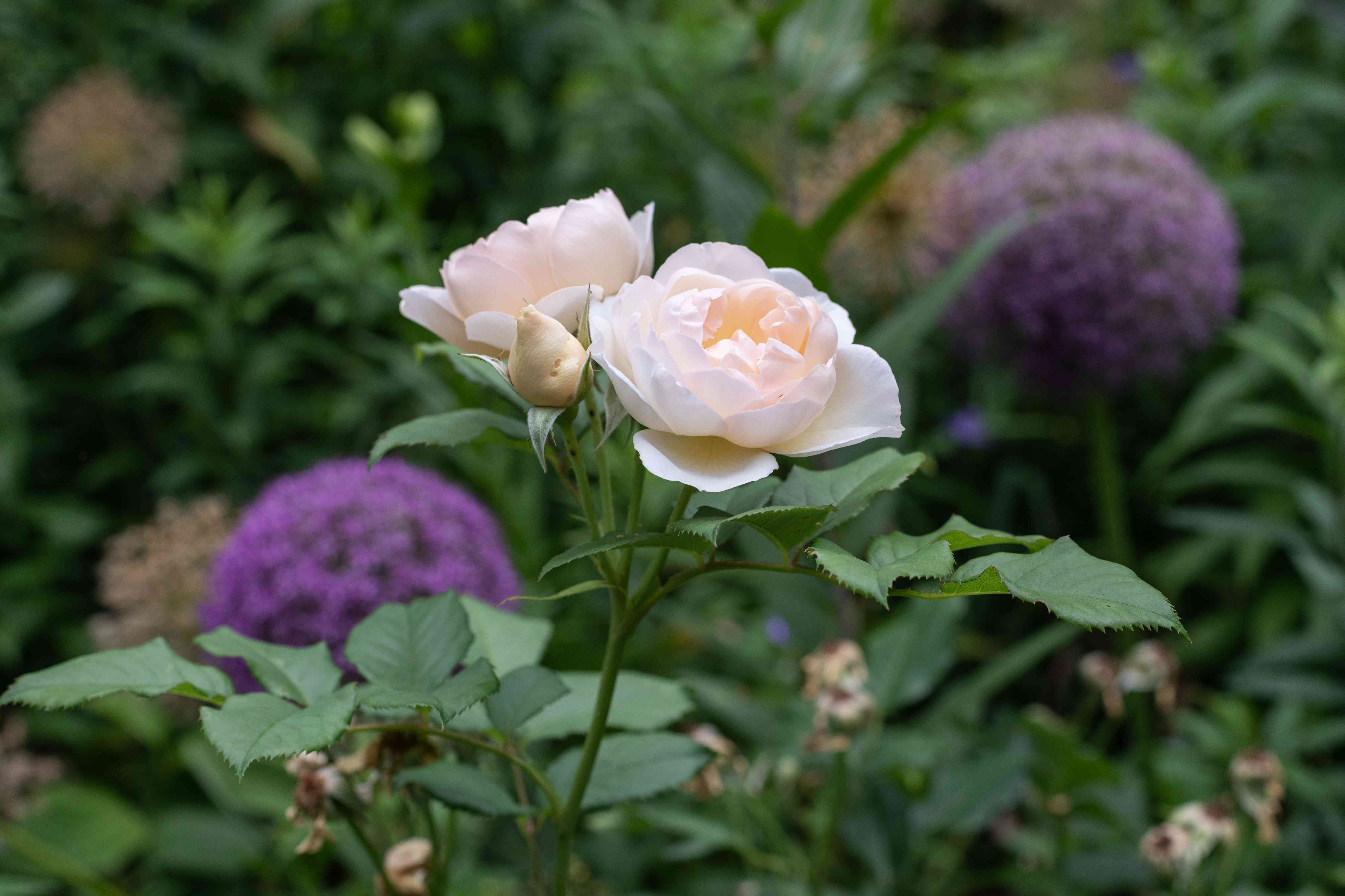 White roses with ruffled petals on thin stem in garden
