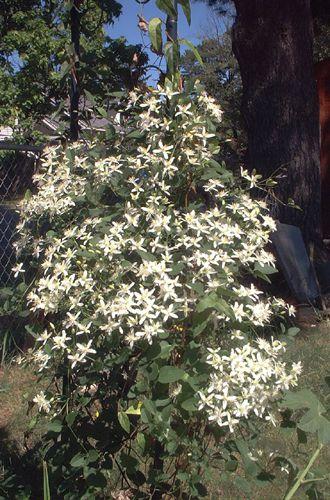 Picture of Autumn Clematis Vines