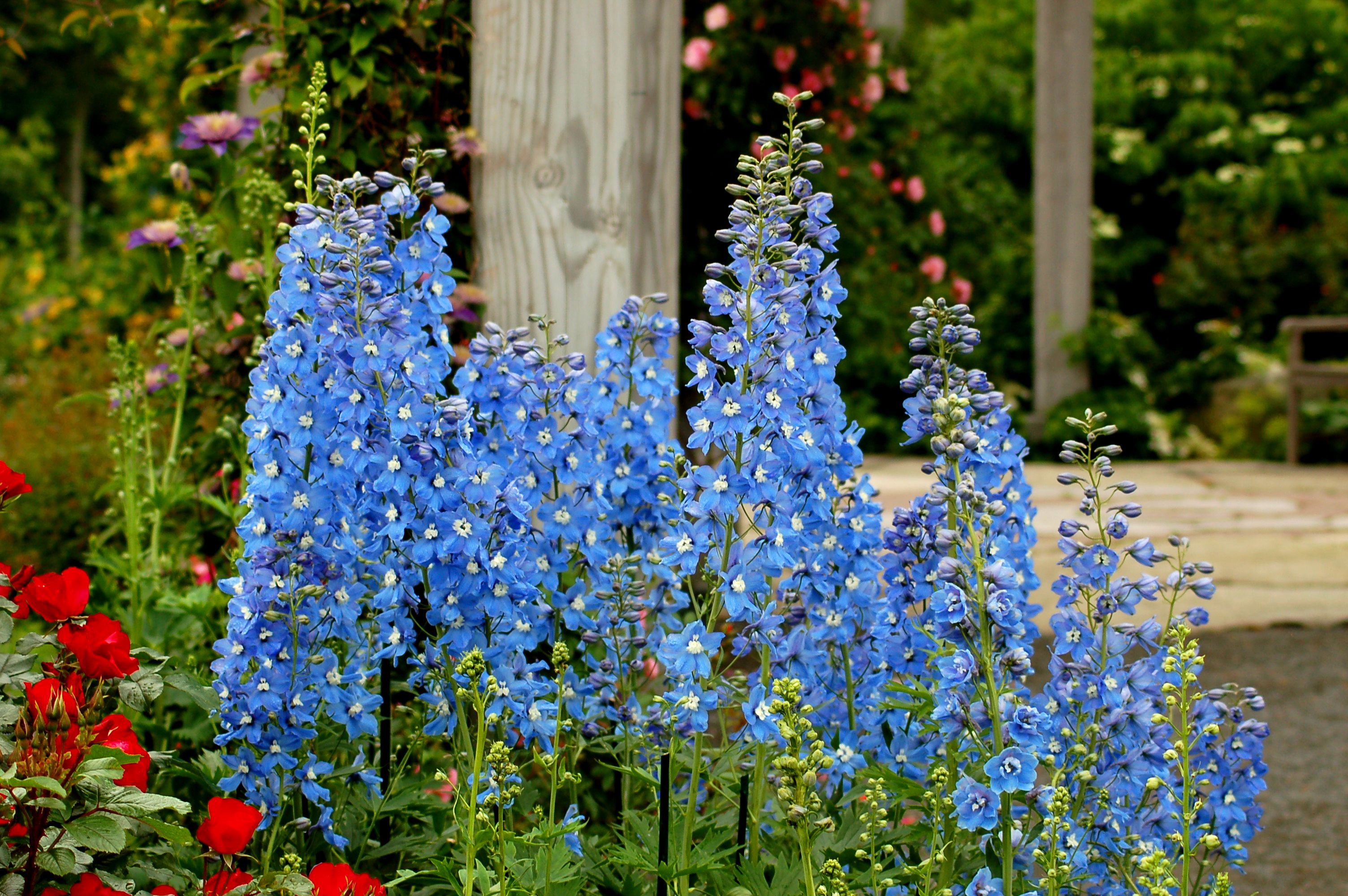 'Summer Skies' delphinium in bloom near a wooden fence.