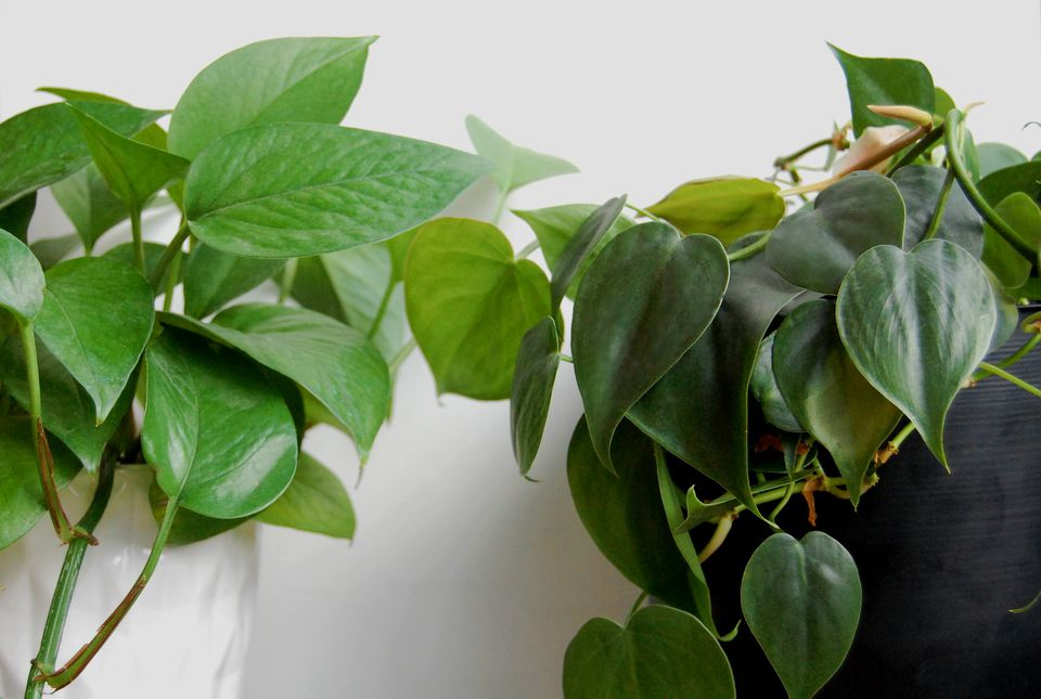 A green pothos in a white pot sits next to a heart-leaf philodendron in a black pot.