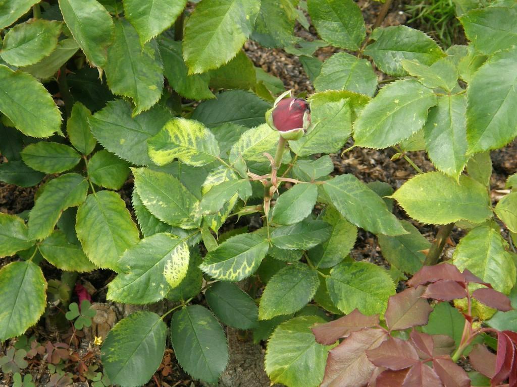 Rose mosaic virus