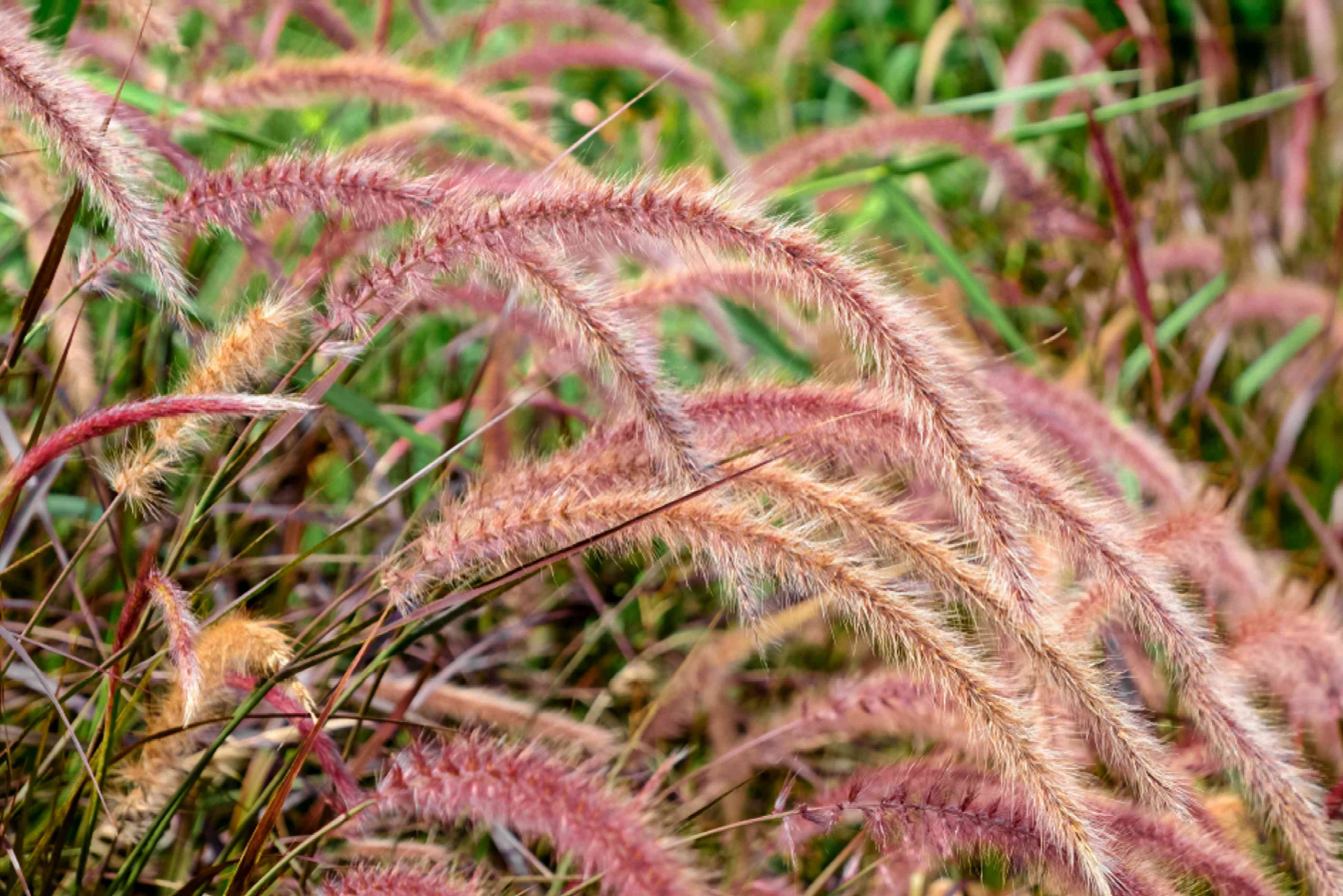 Ornamental grass with clump forming pink plumes