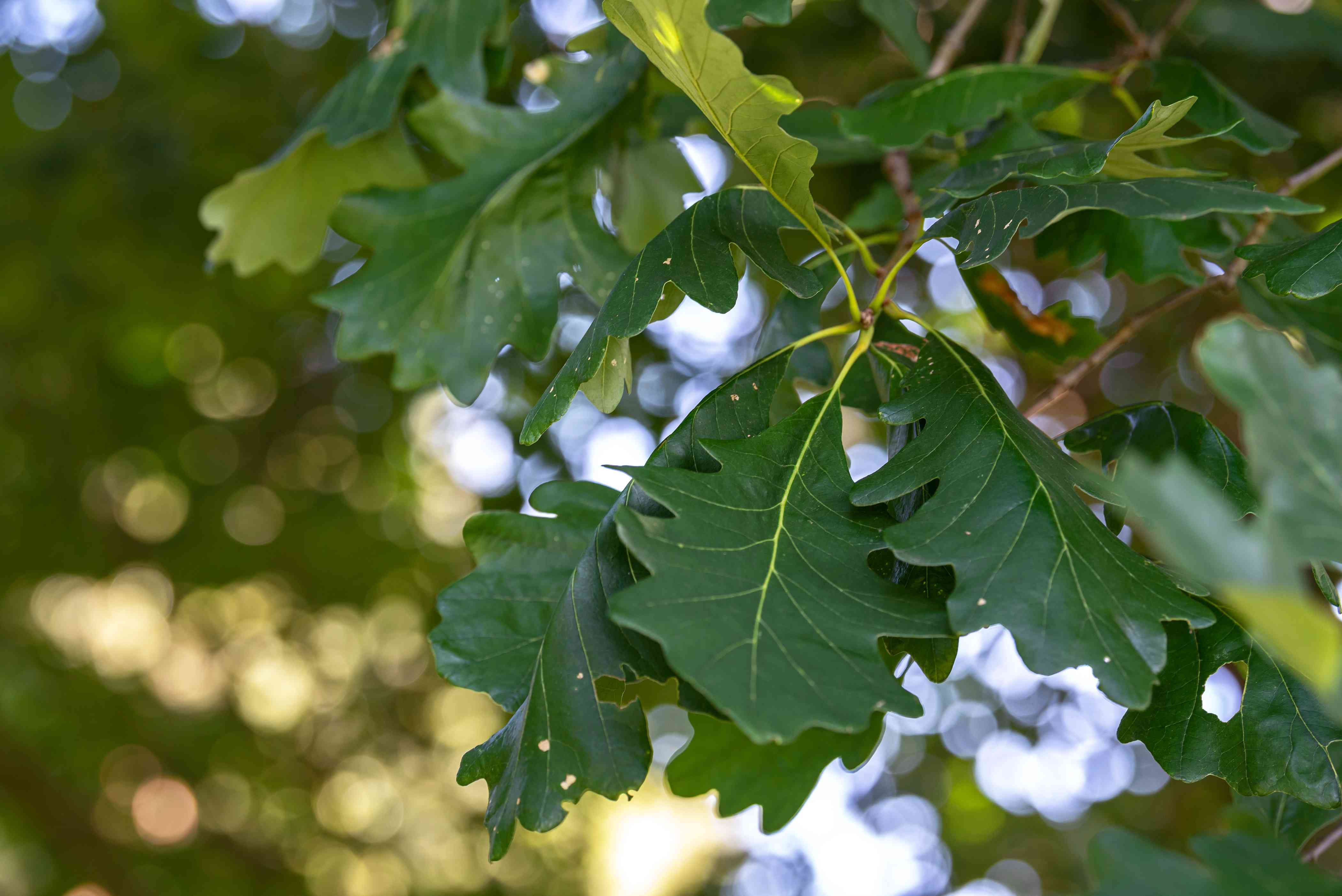 Bur oak tree branch with dark green wavy-edged leaves hanging closeup