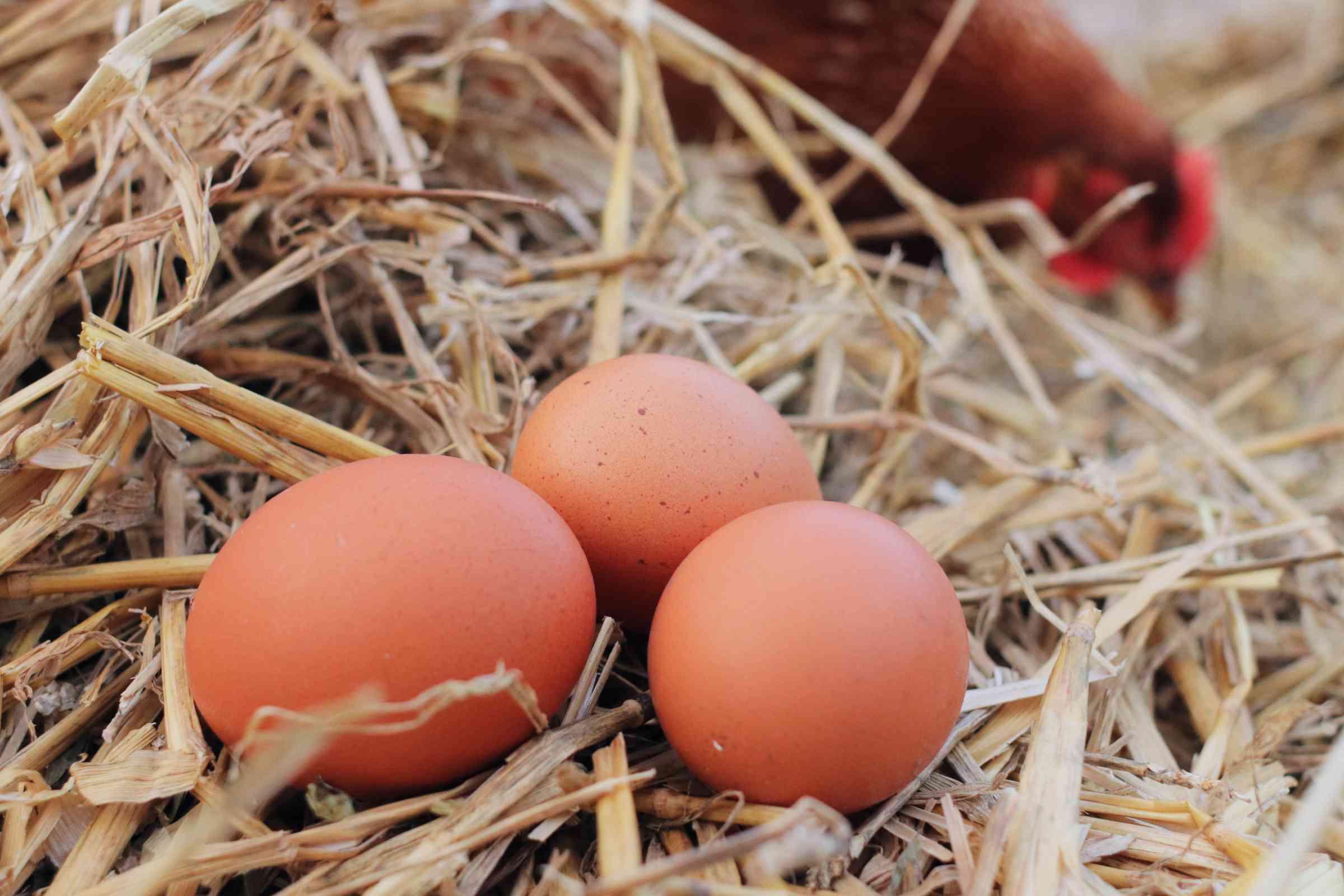 fresh eggs from a hen