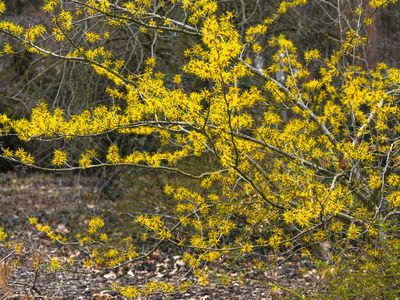 Witch hazel shrub with long twisted branches with yellow spidery blooms