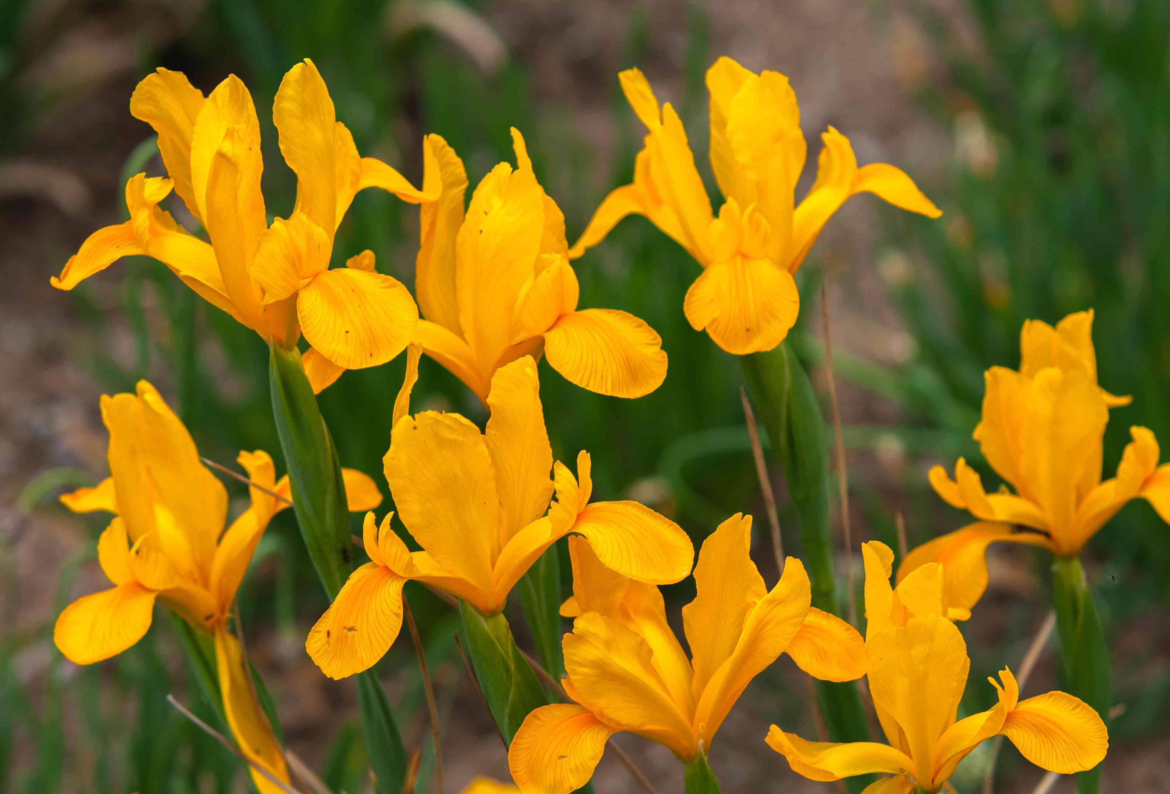 Dutch iris royal yellow plant with yellow flowers
